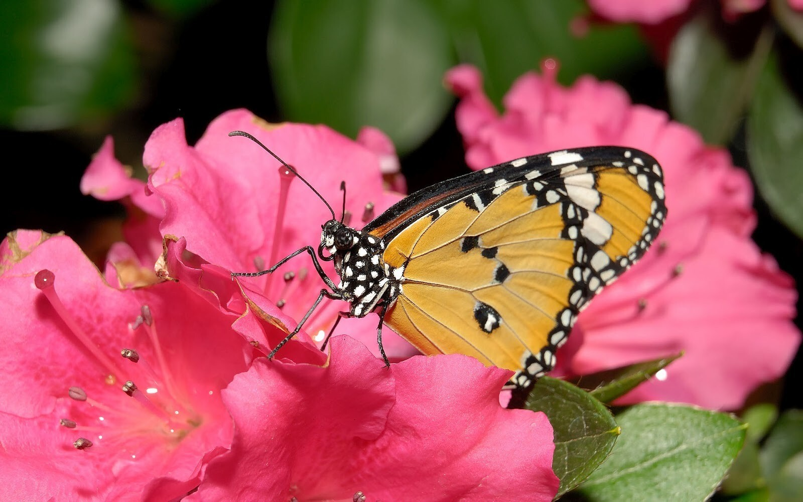Yellow Butterfly on Pink Flower | HD Wallpapers