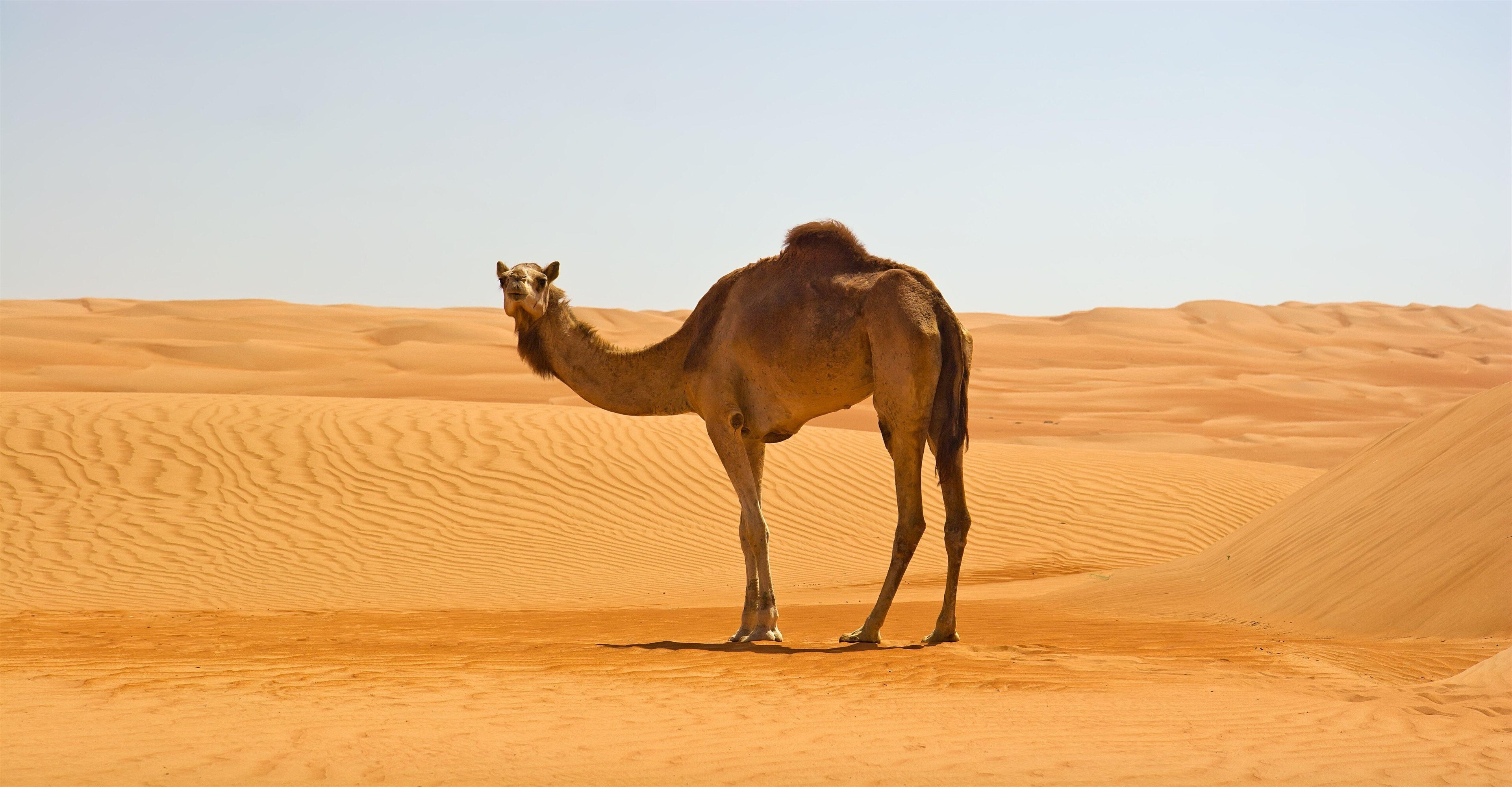 Camel In Namib Desert 4k Wallpaper Hd Wallpapers