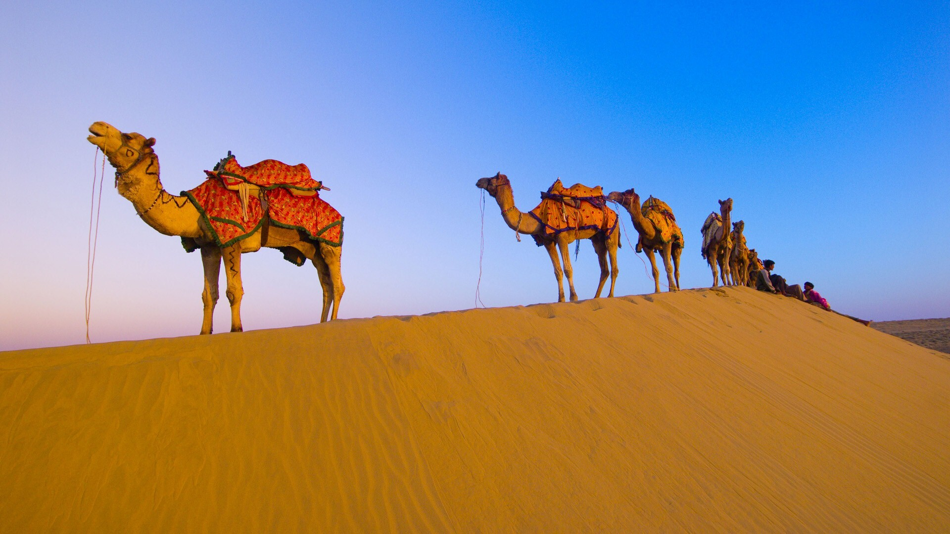 Rajasthani Camel In Desert HD Wallpaper