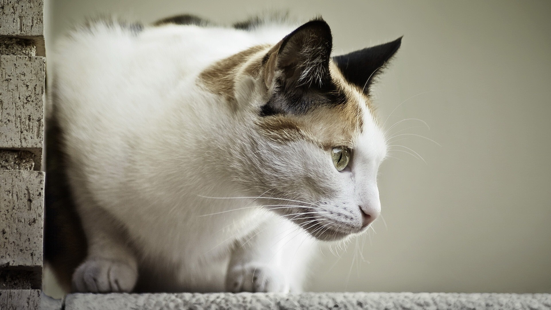 White Cat Looking Forward Hd Wallpapers