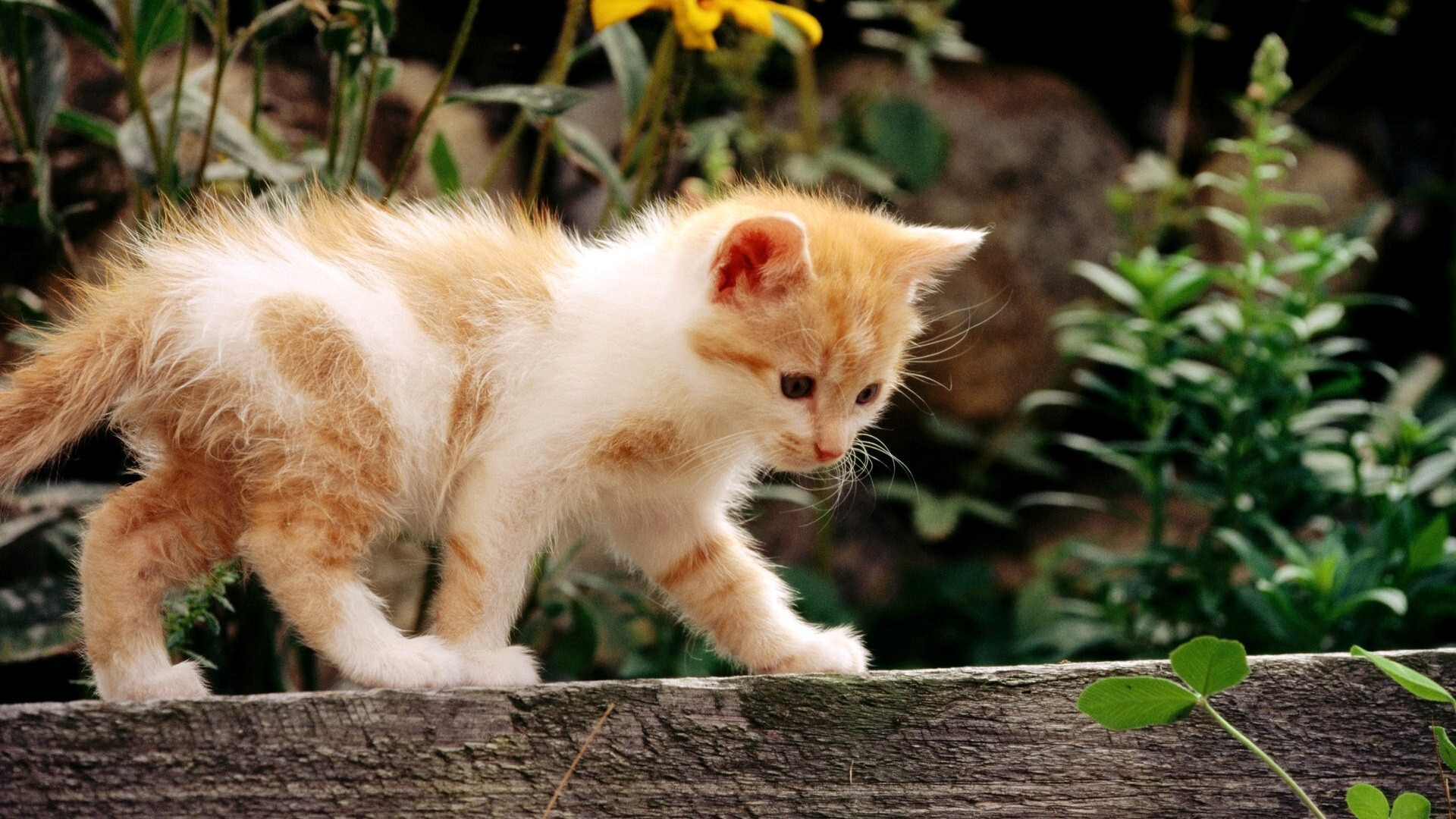 white and yellow cat hd wallpapers hd wallpapers