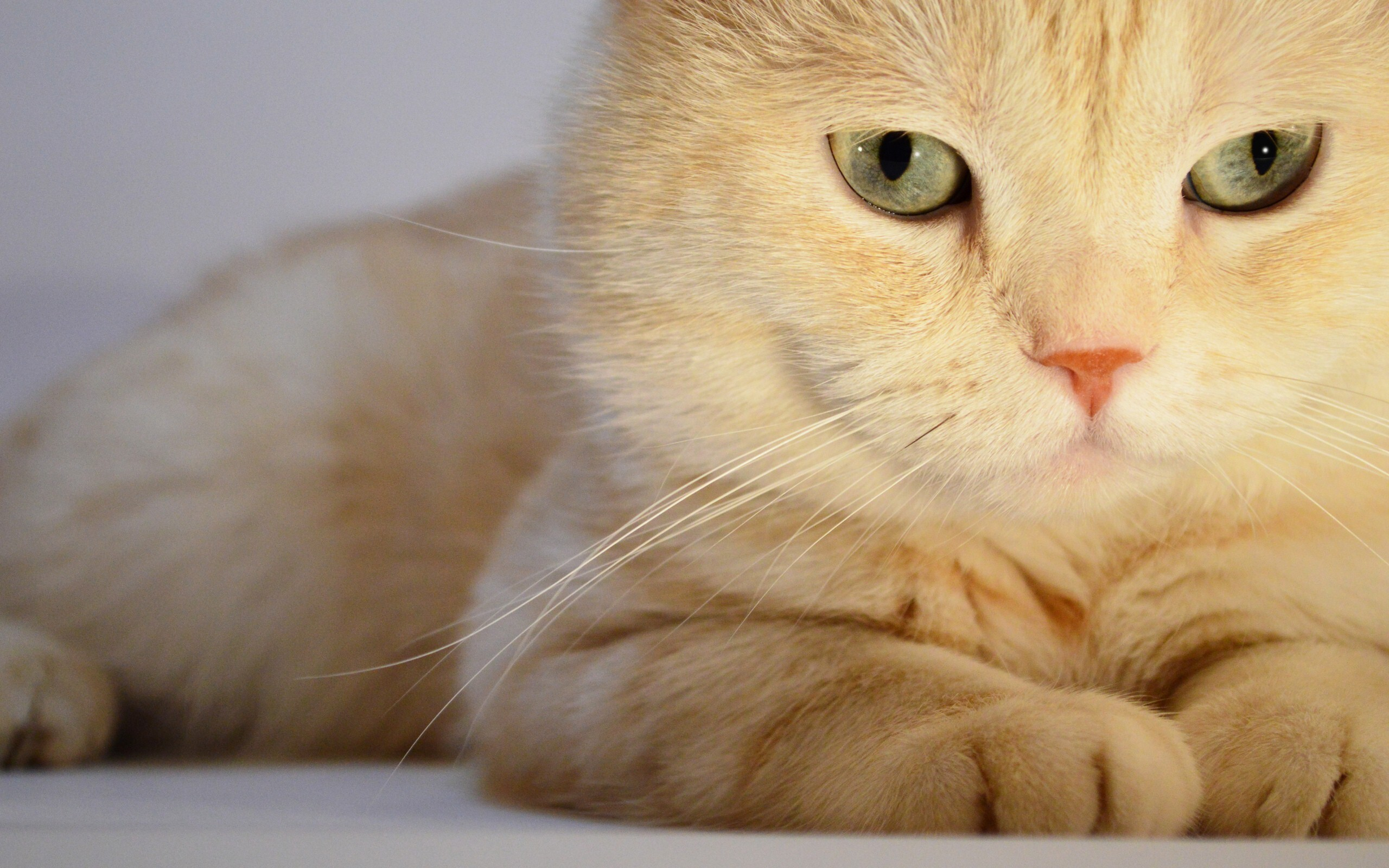 8k Animal Wallpaper Download: Yellow Cat Wonderful Wallpaper