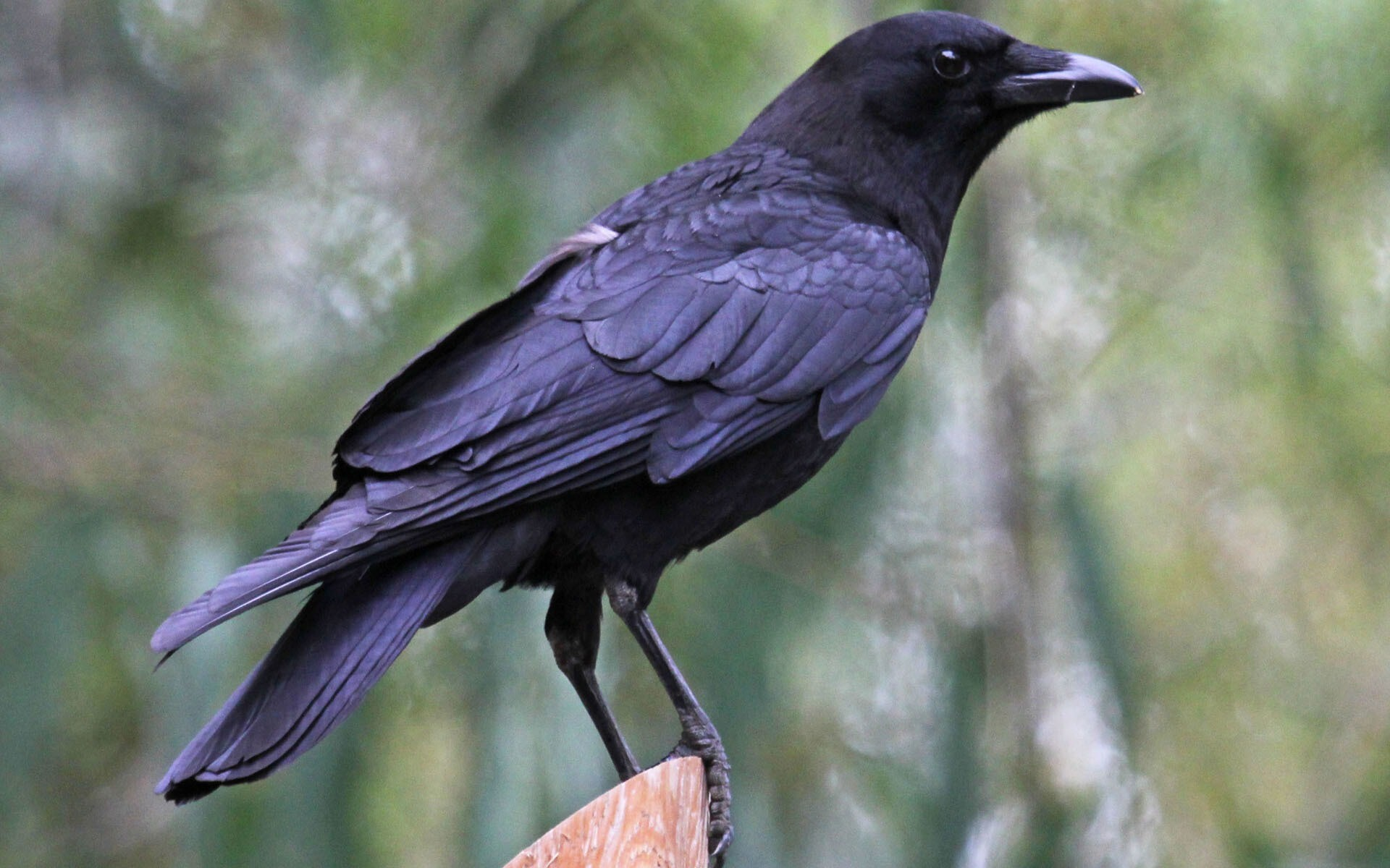 Image Result For Crow Hd Wallpapers Background Images Wallpaper Abyss