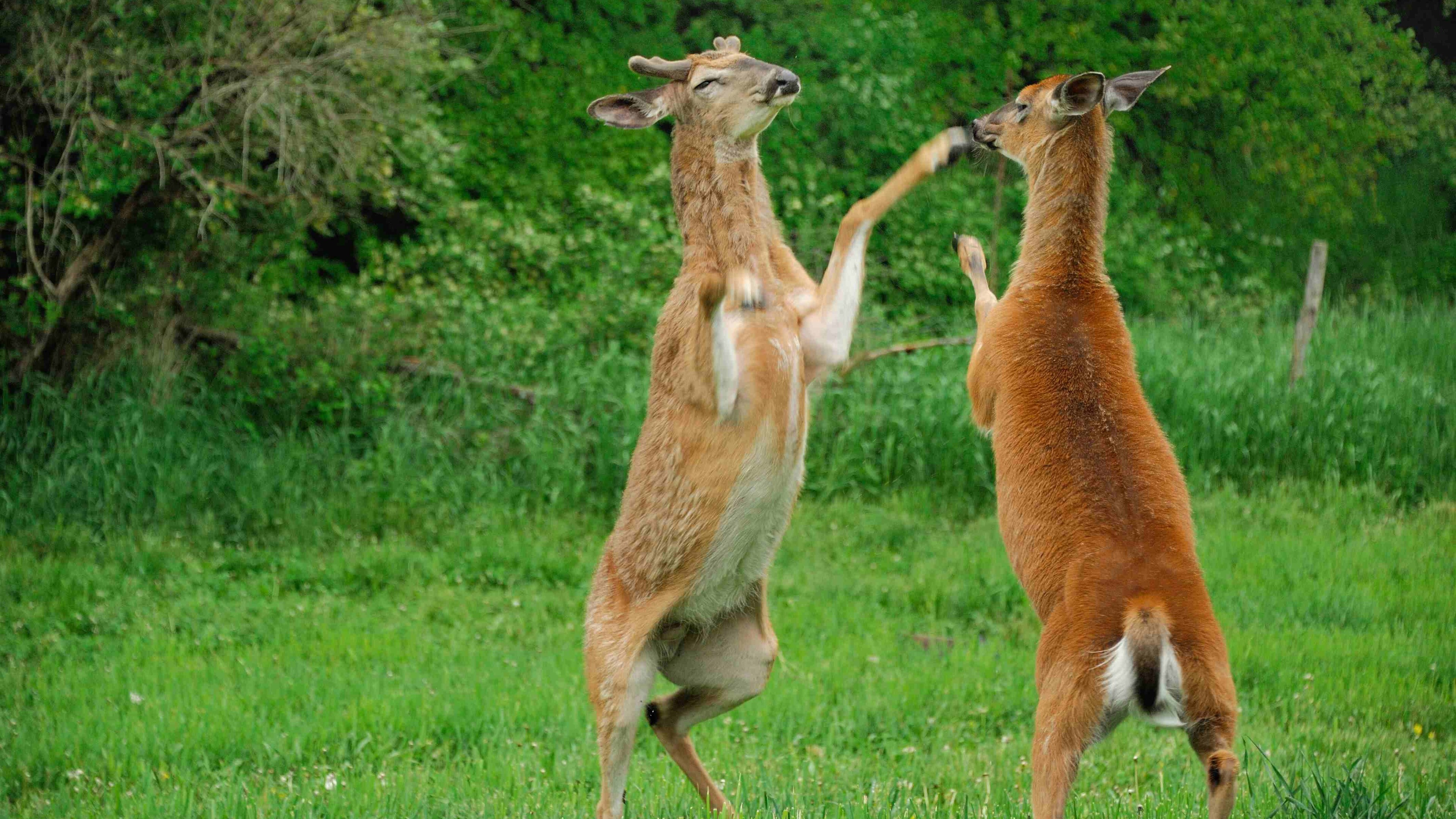 2 Deer Fight In Jungle 4k Wallpaper Hd Wallpapers