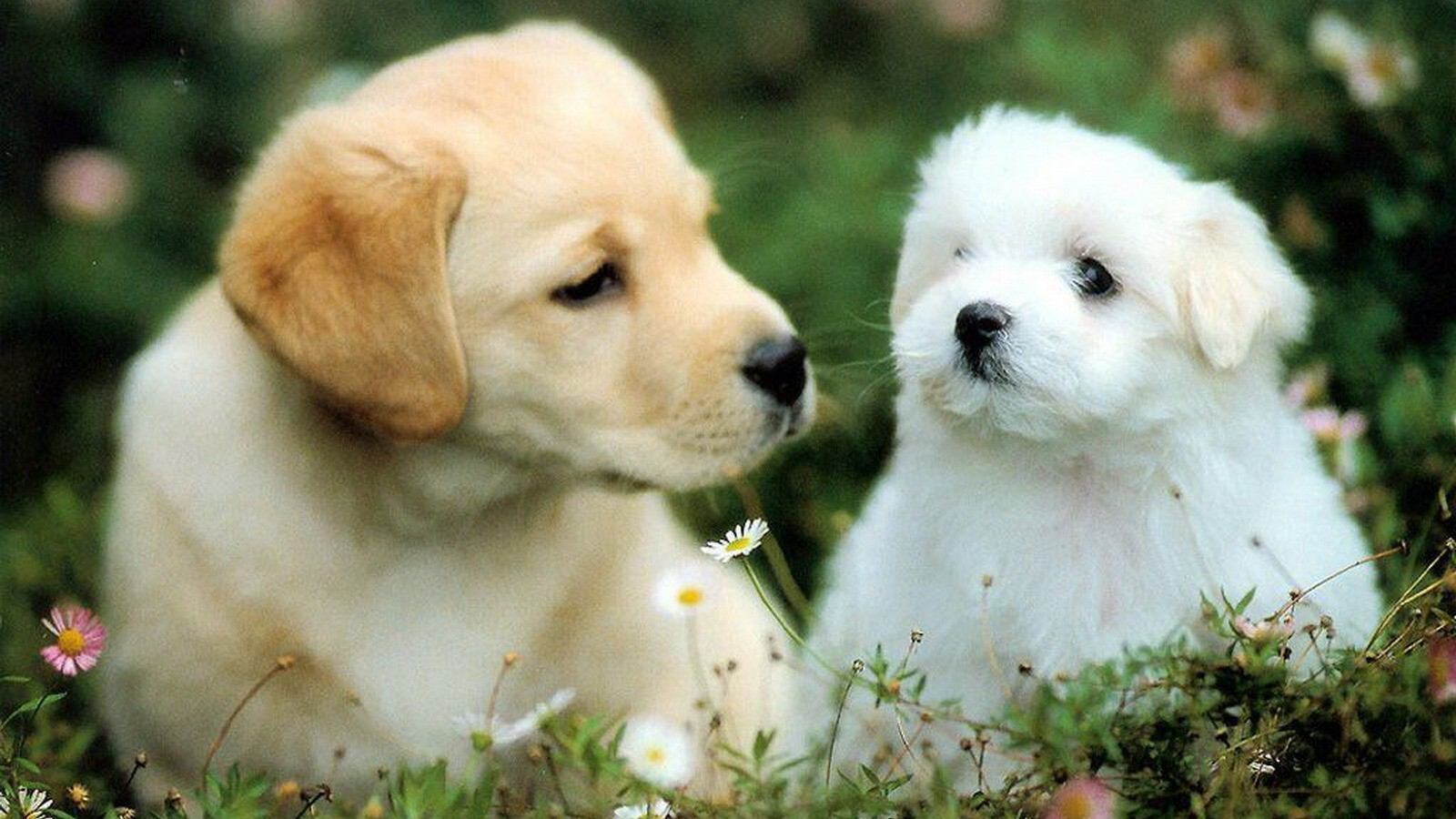 2 lovely dog puppy | hd wallpapers