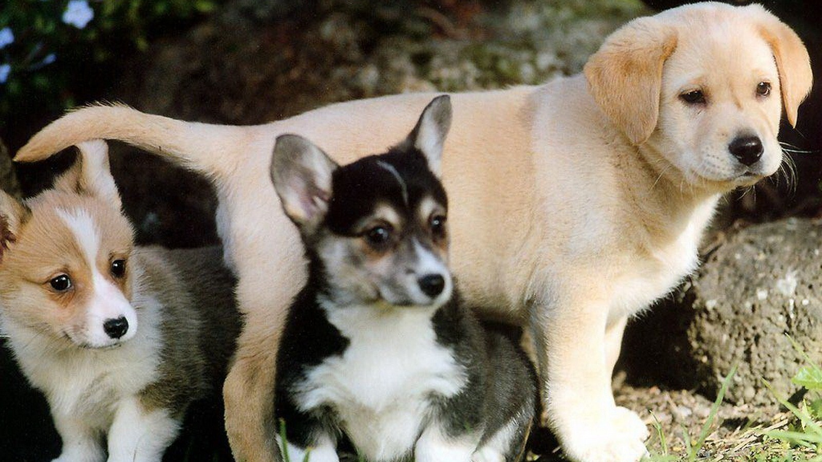 3 Beautiful Dog Puppies Picture Download Hd Wallpapers