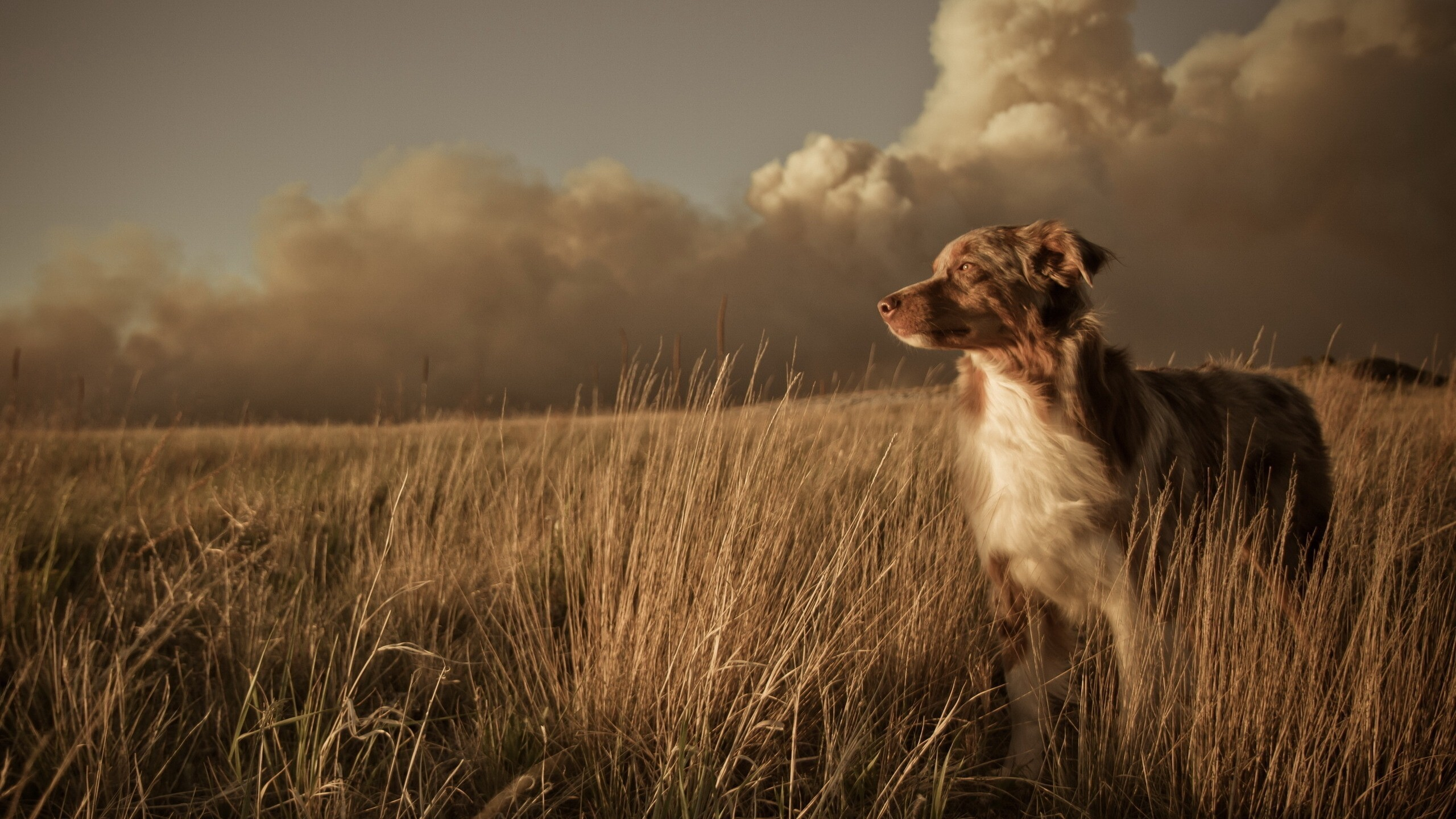 Download Wallpapers Download 2790x2547 Animals Grass: Animal Dog In Dry Grass