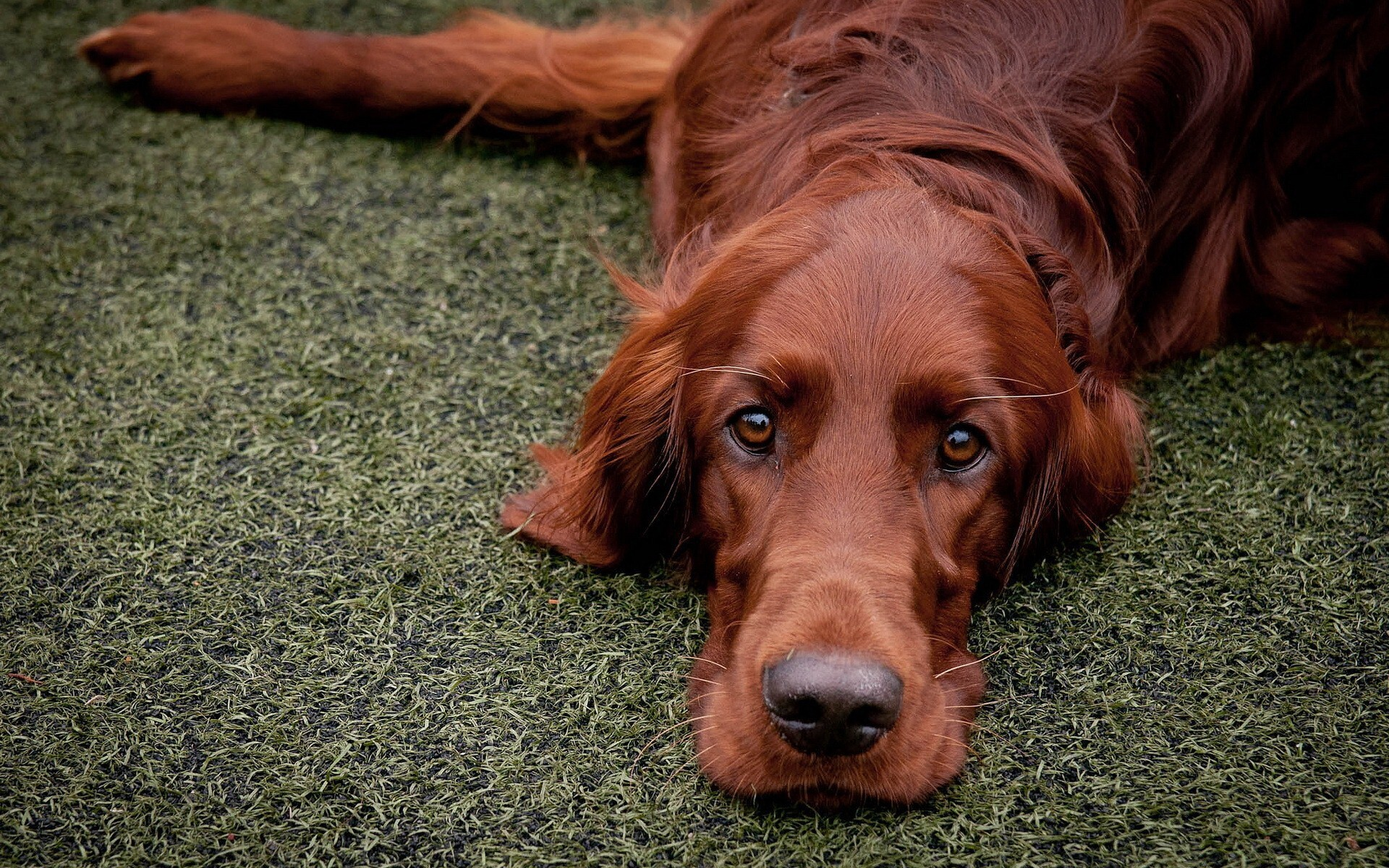 Big Dog In Home Garden Wallpaper Hd Wallpapers