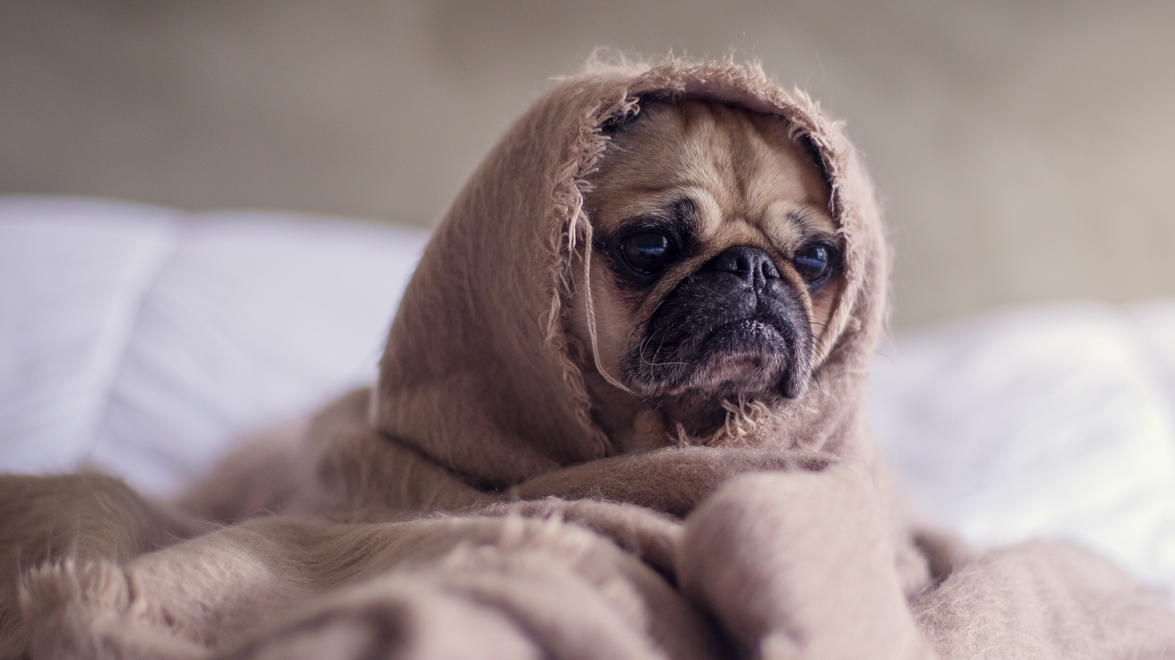 Funny Dog Puppy Wrapped in Blanket 4K Wallpaper | HD ...