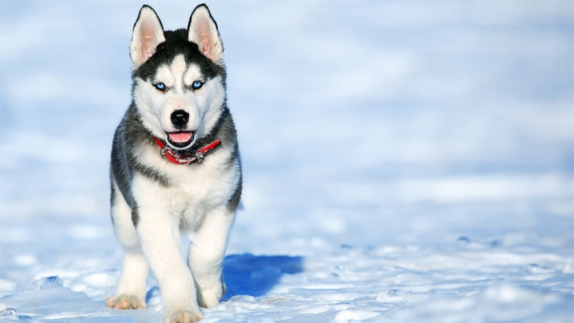 Siberian Husky Dog In Snow Hd Wallpapers