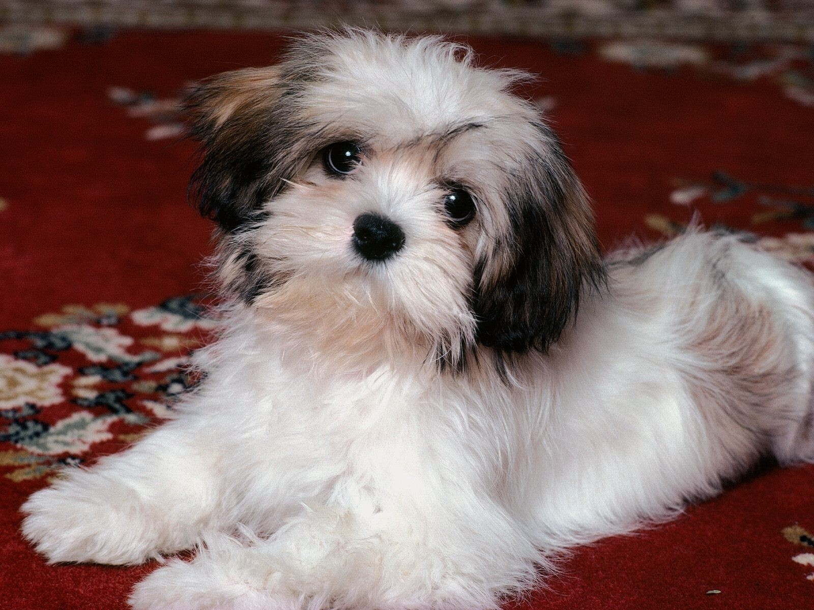 White Hairy Doggy | HD Wallpapers