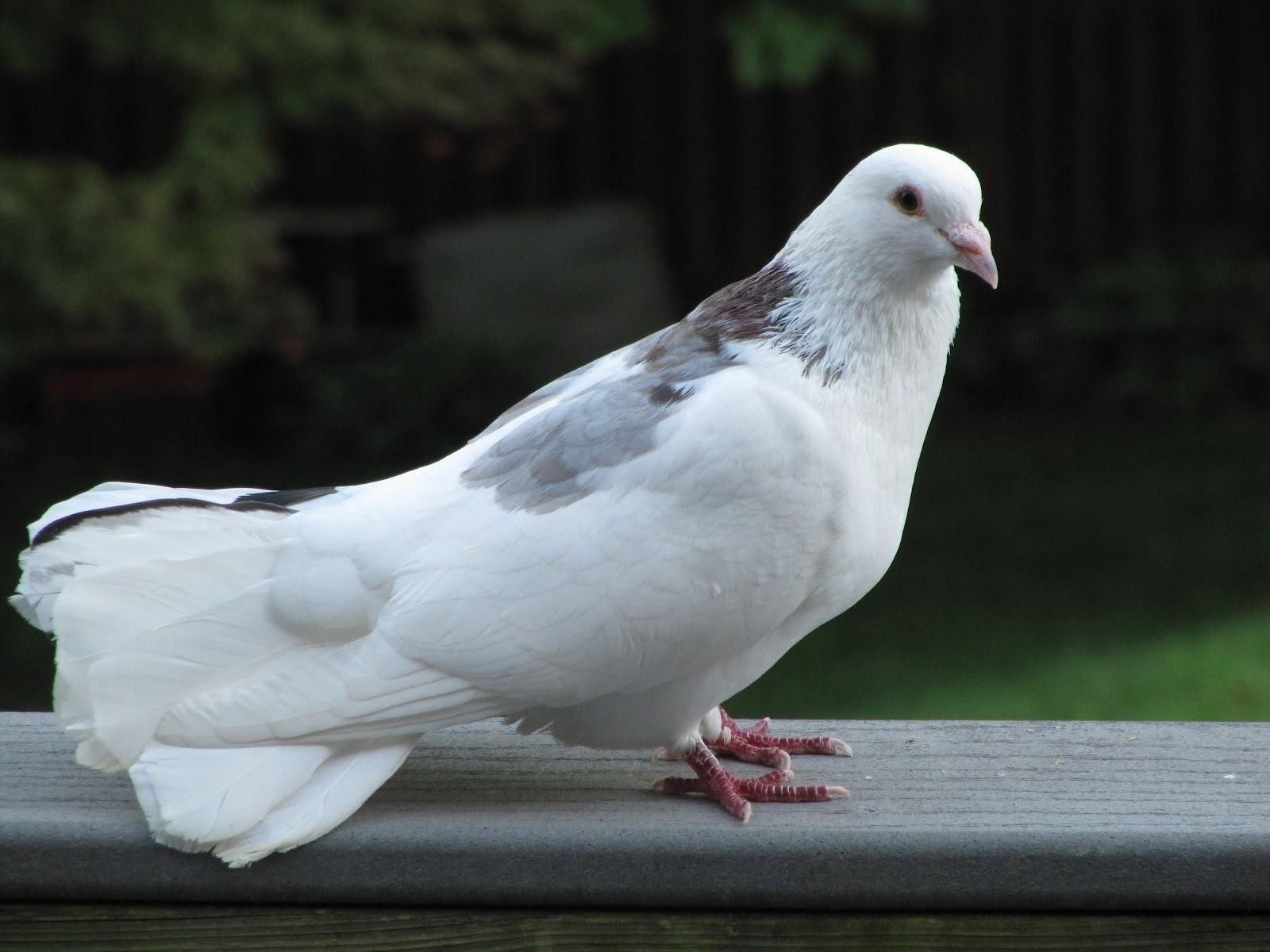 Beautiful White Pigeons Standing HD Wallpapers