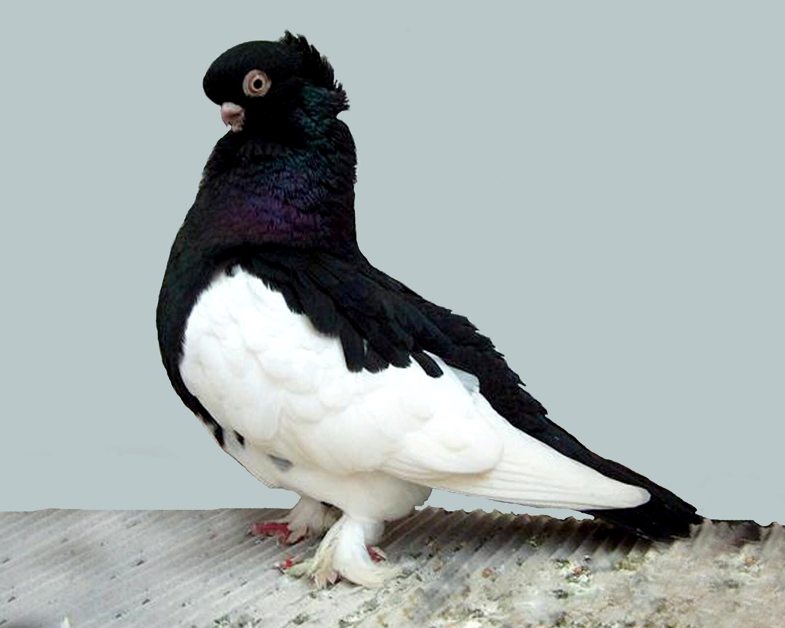 Black dove bird images - photo#3