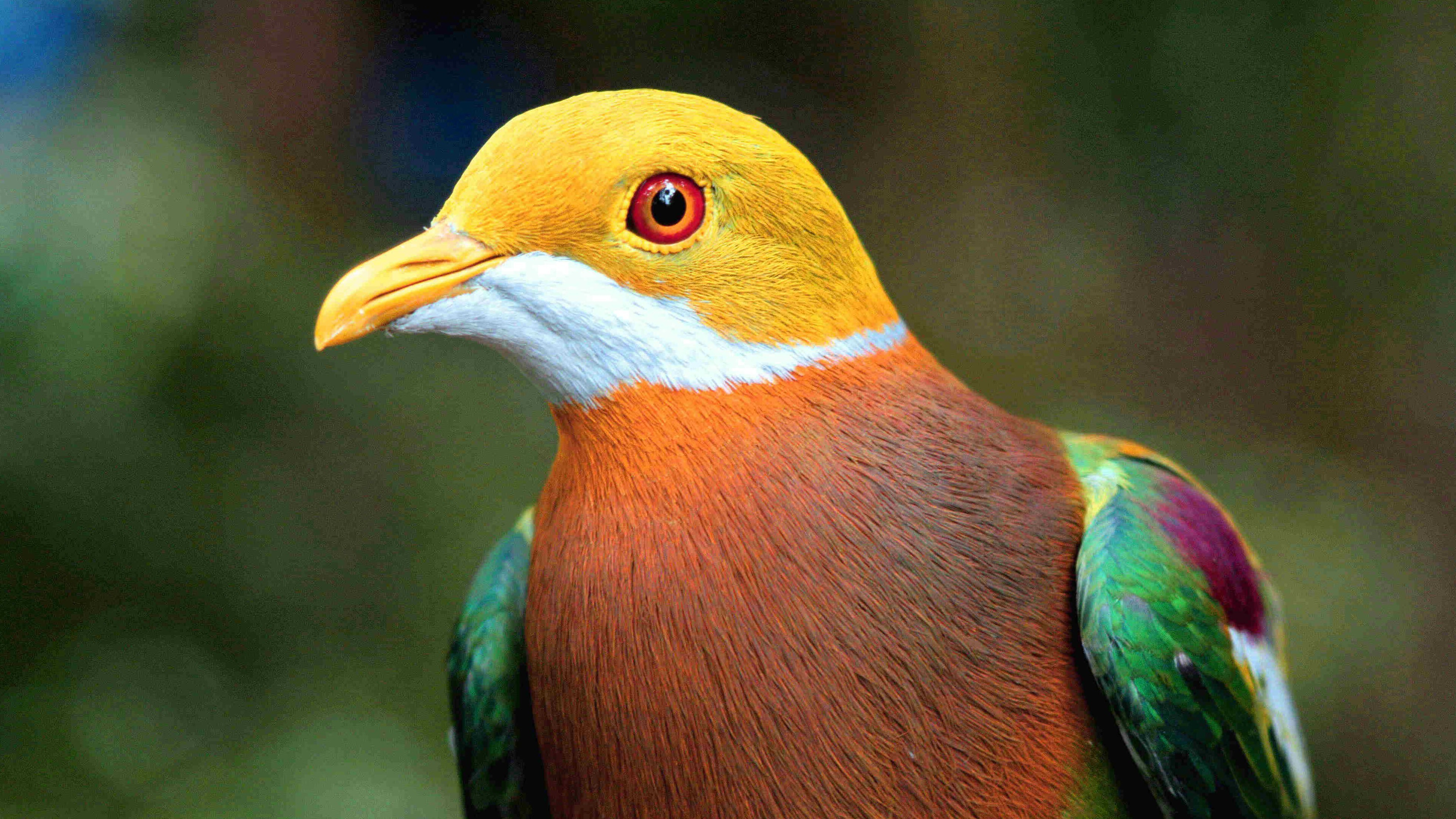 Colorful Bird Dove 4k Wallpaper Hd Wallpapers