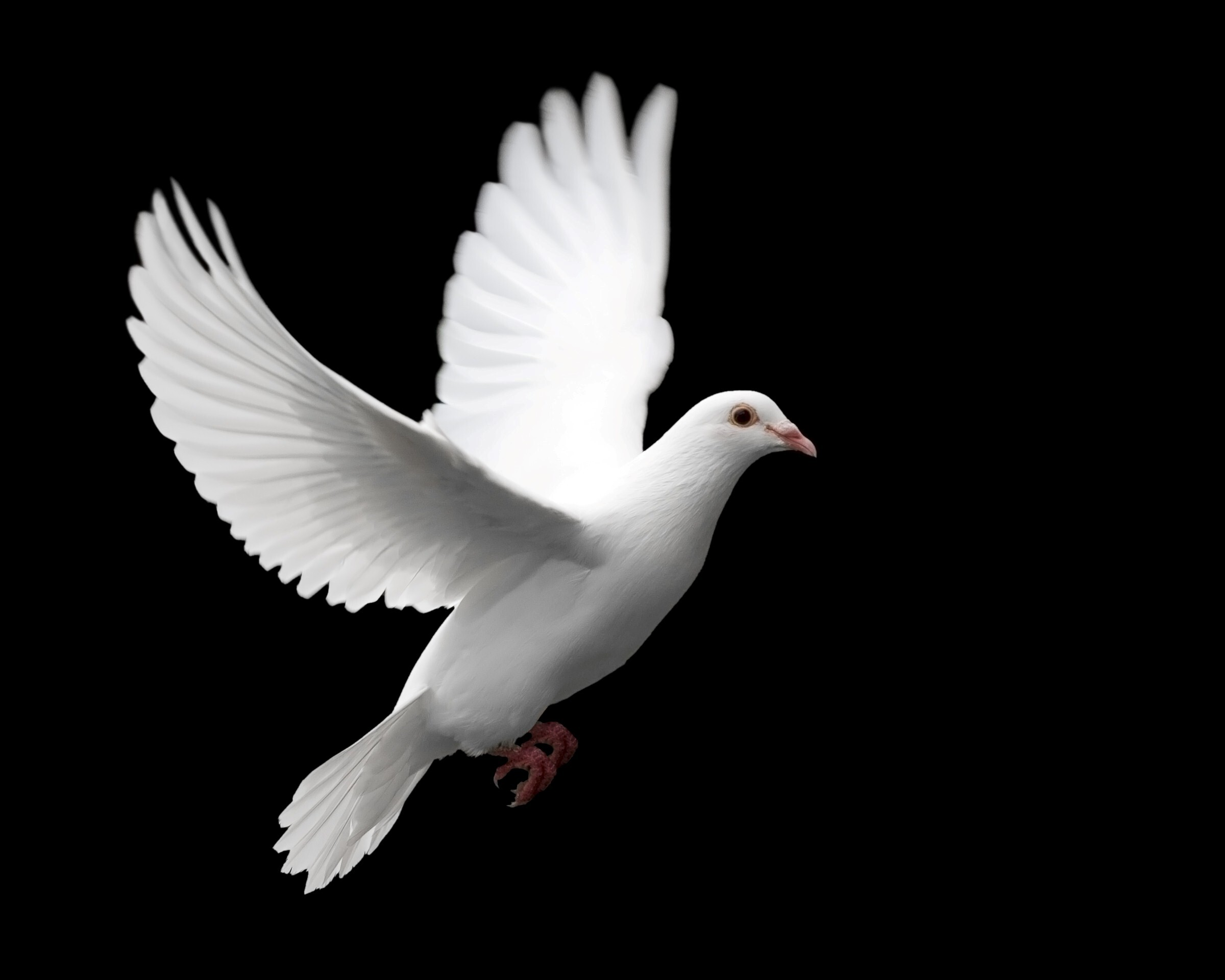 flying white dove hd wallpapers
