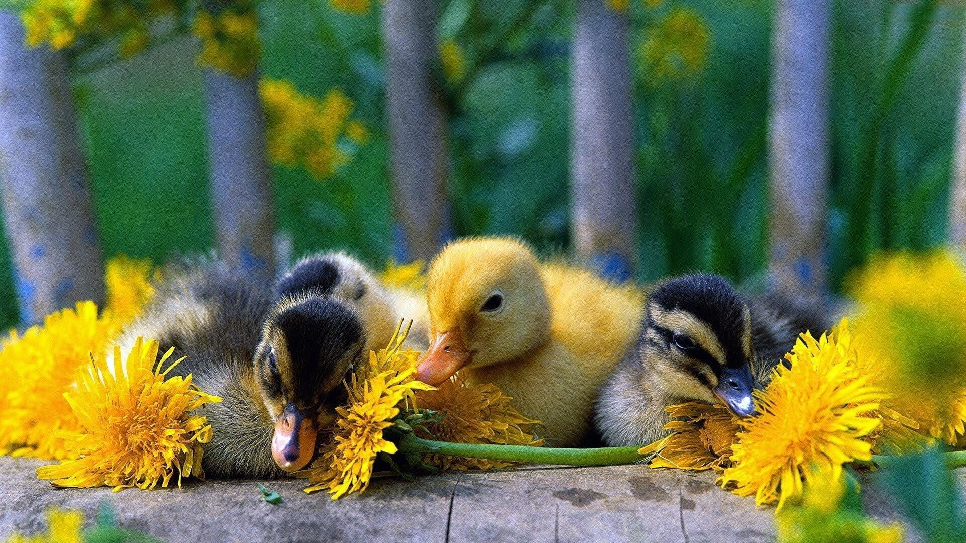 Cute Babies Duck Wallpaper | HD Wallpapers