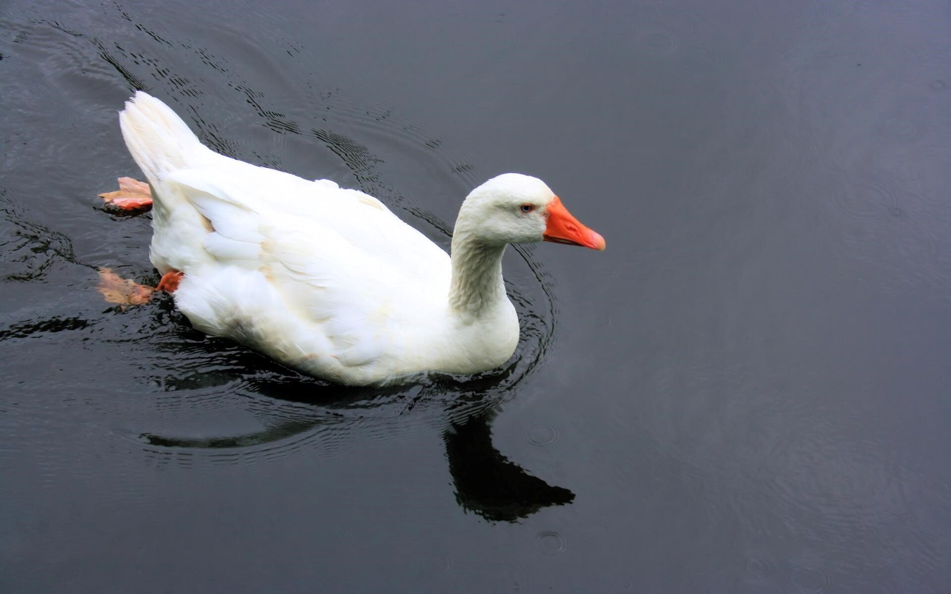 White Duck Swimming In The Water Wallpaper Download Hd Wallpapers
