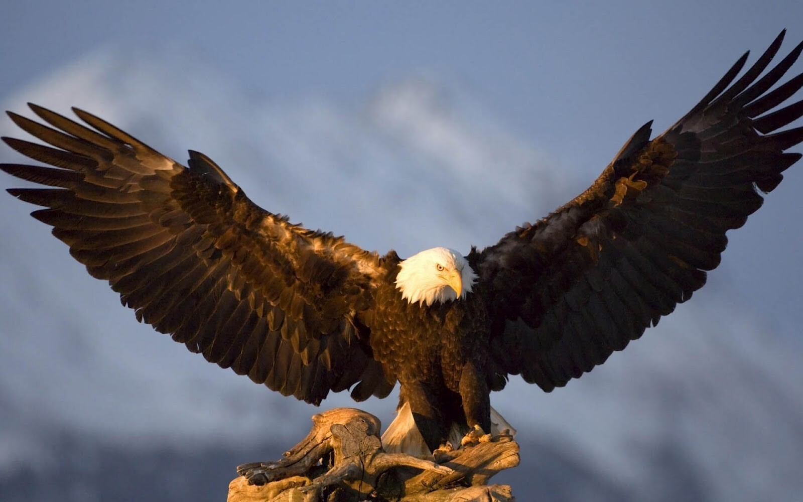 big eagle spreading his wings hd wallpapers download | hd wallpapers