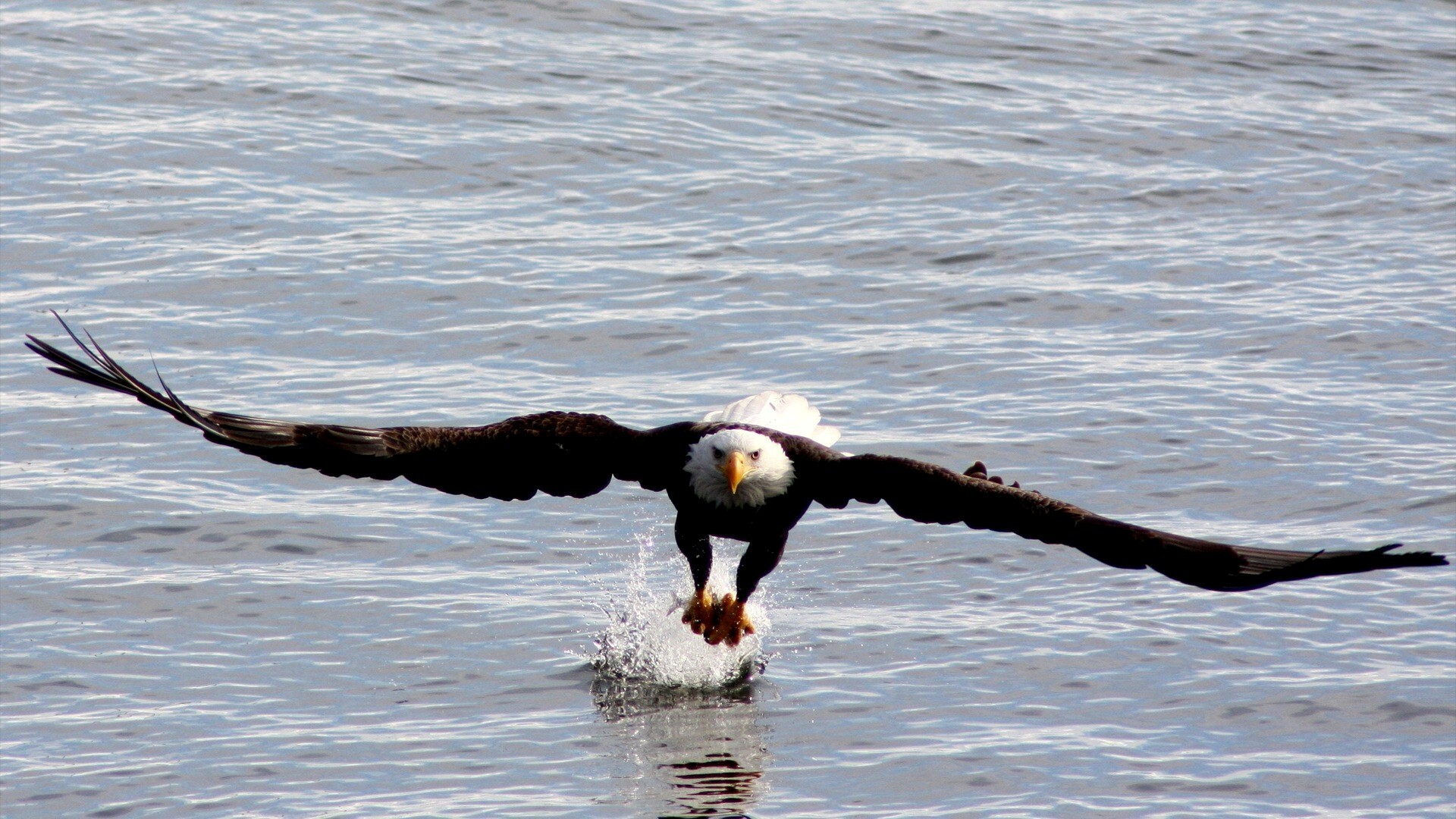 bird eagle hunting fish hd wallpapers hd wallpapers