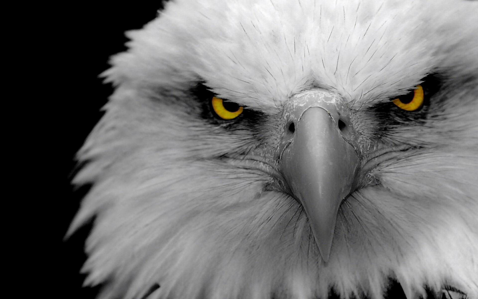 Eagle HD Desktop Background Wallpaper | HD Wallpapers