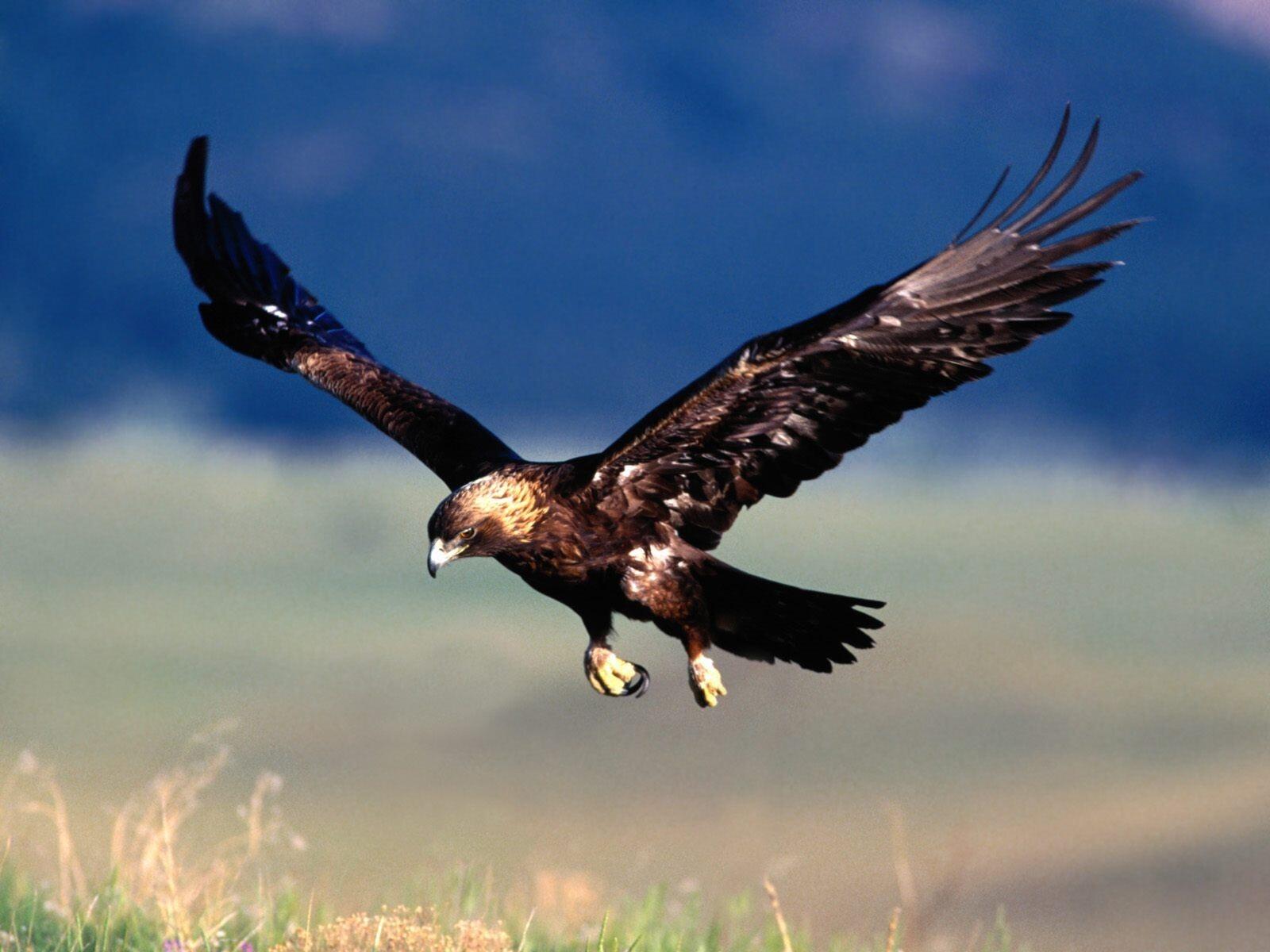 Golden Eagle Flying On Sky Wallpaper