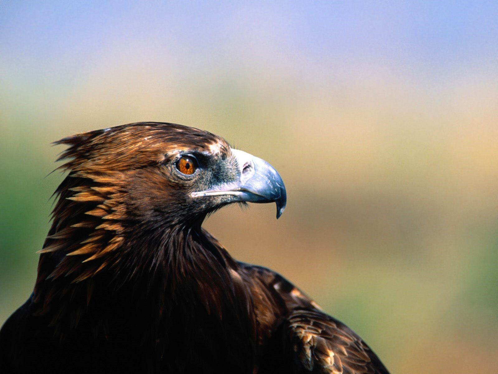 Hd wallpaper eagle - Eagle Wallpapers