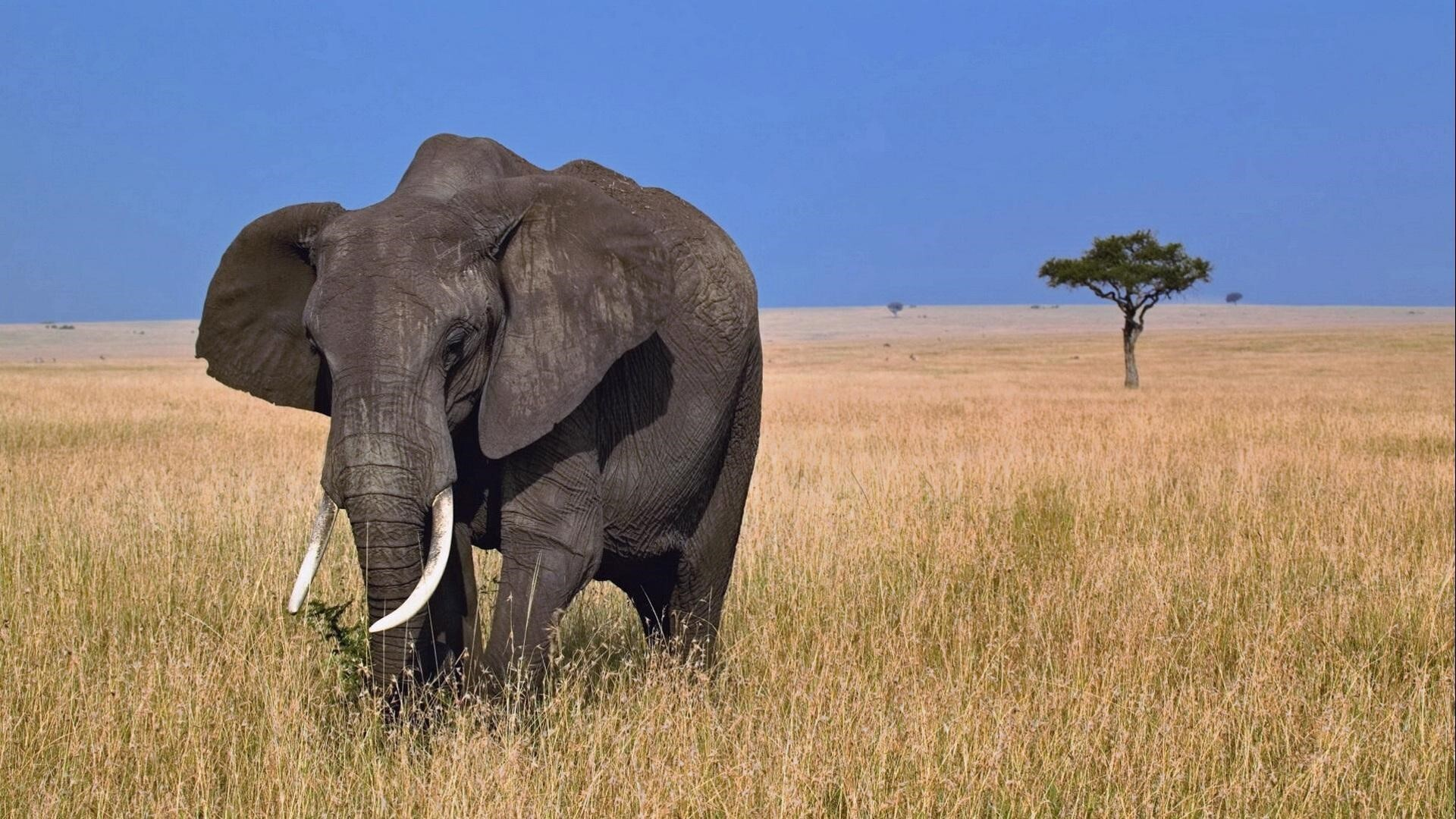african elephan hd animal wallpapers free download | hd wallpapers