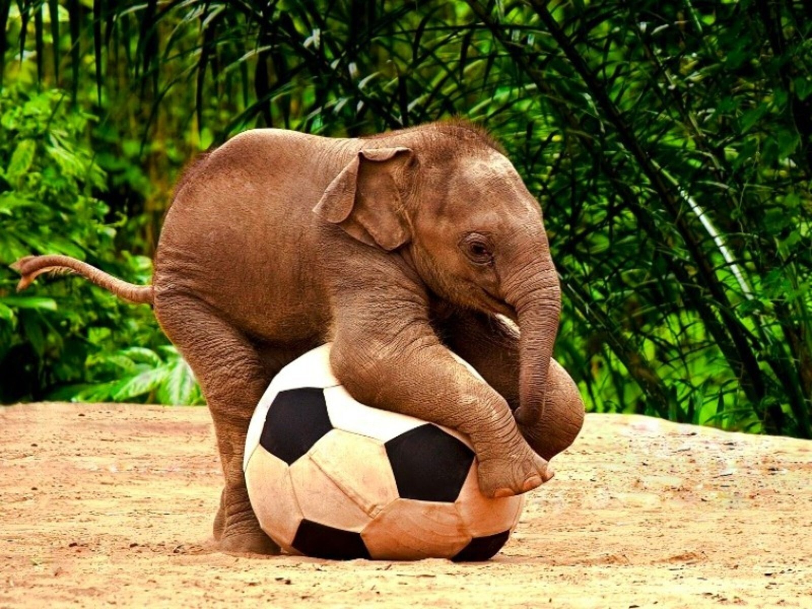 Cute elephant baby kid play with football wallpapers hd - Cute elephant pictures ...