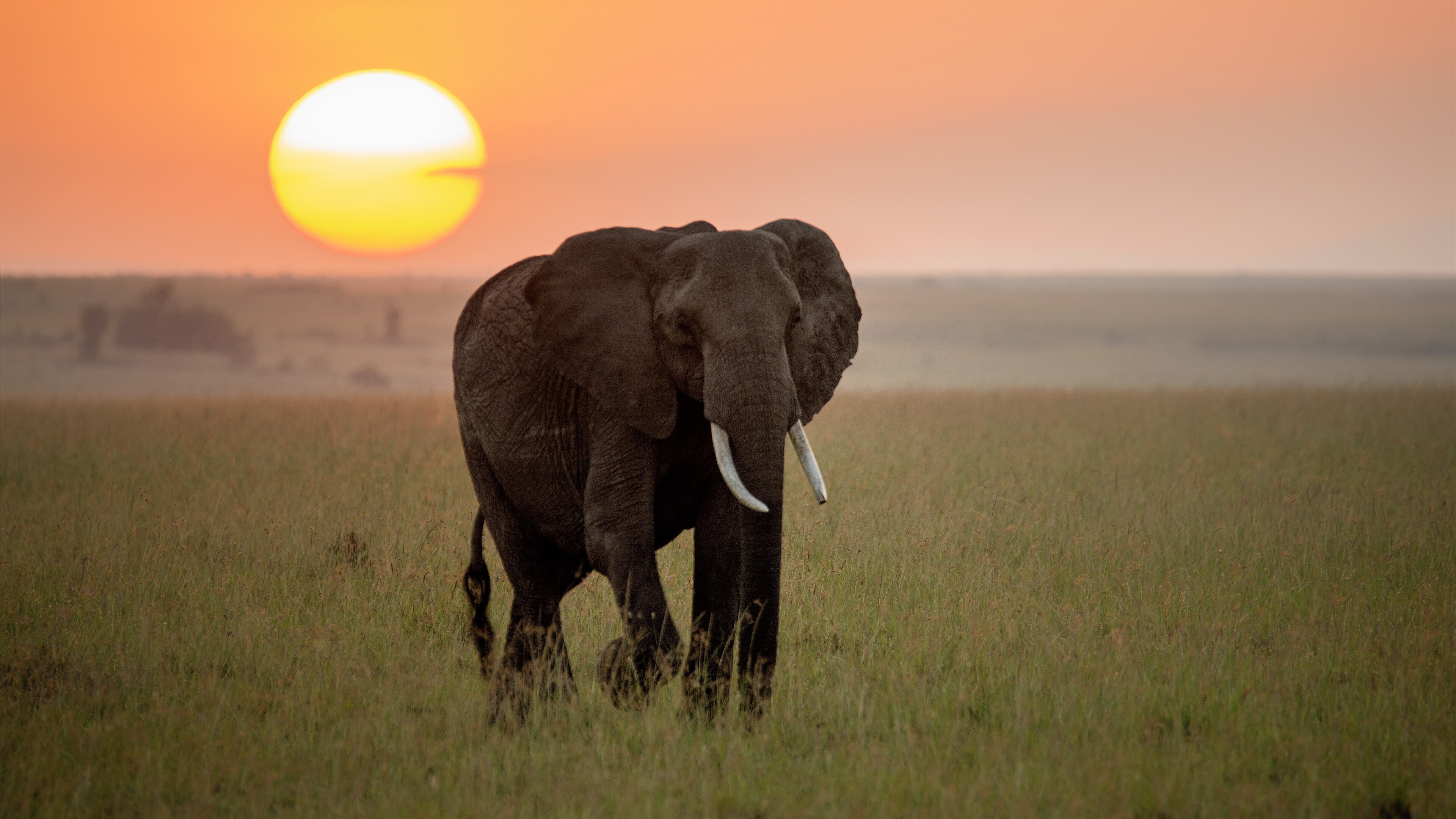 Elephant Walking At Sunset Time 4K Photo | HD Wallpapers