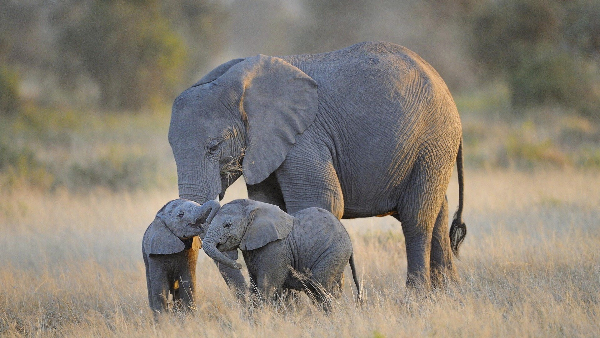 Two elephant baby playing wallpaper hd wallpapers - Baby elephant wallpaper ...
