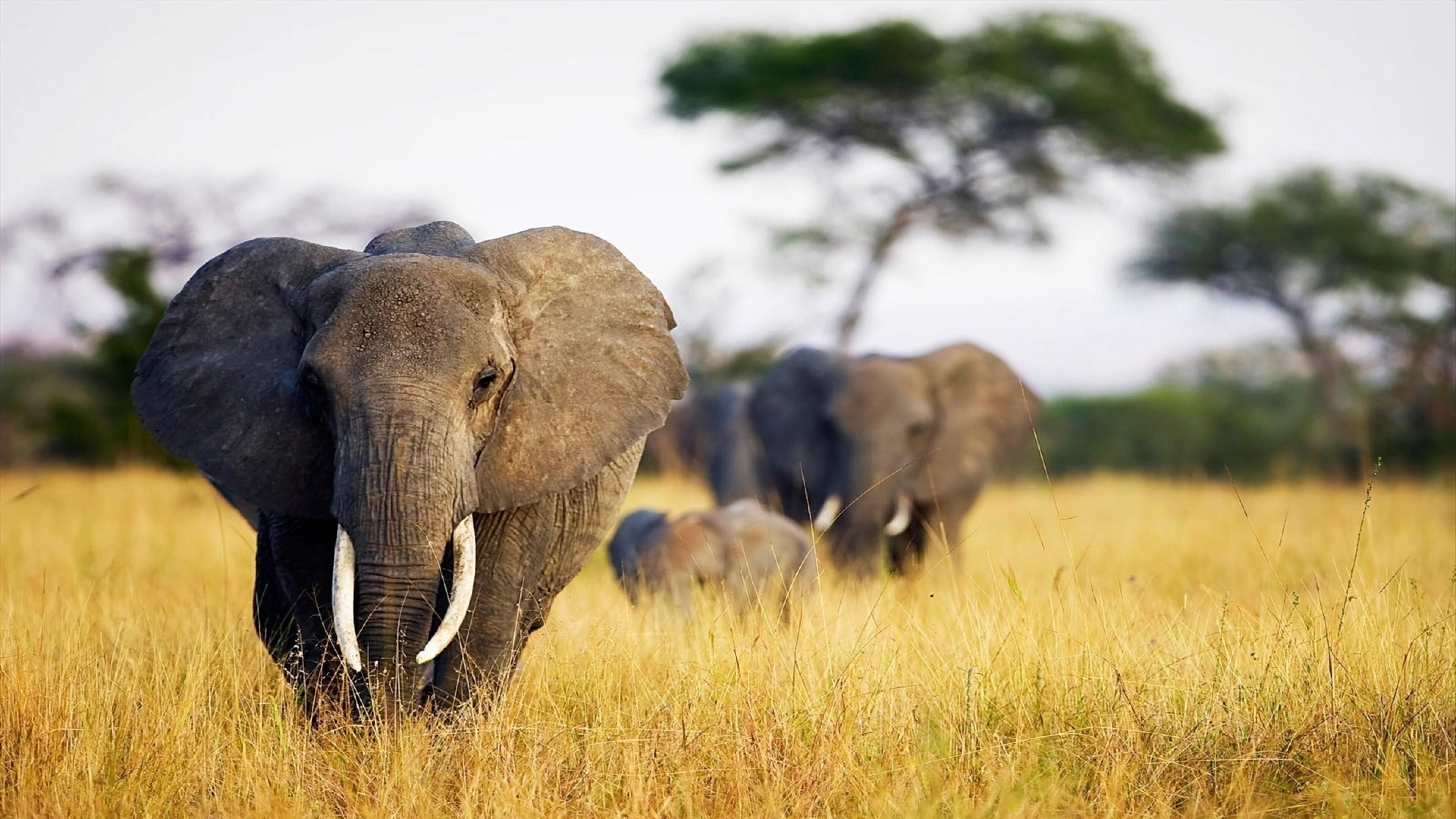 Wildlife Elephant 4K Pic Download