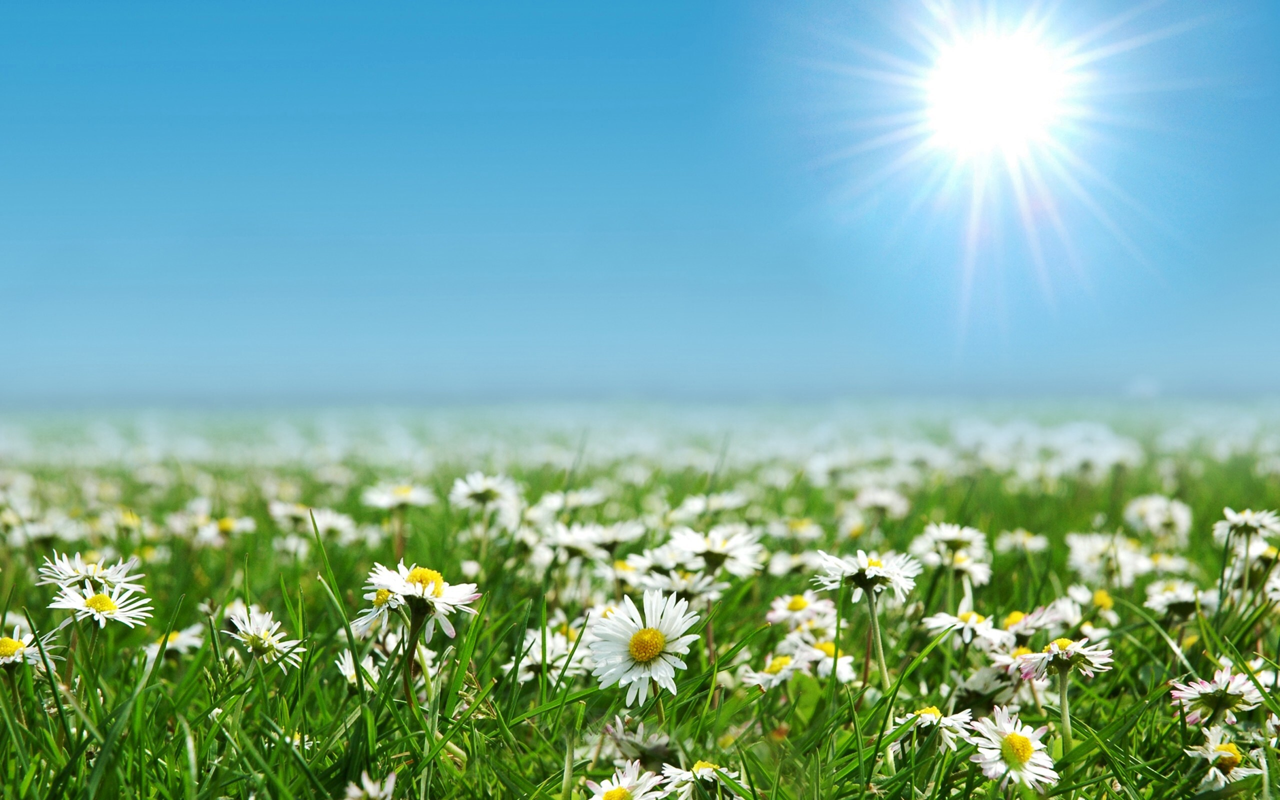 Beautiful Daisies Flowers Farm Wallpapers Hd Wallpapers