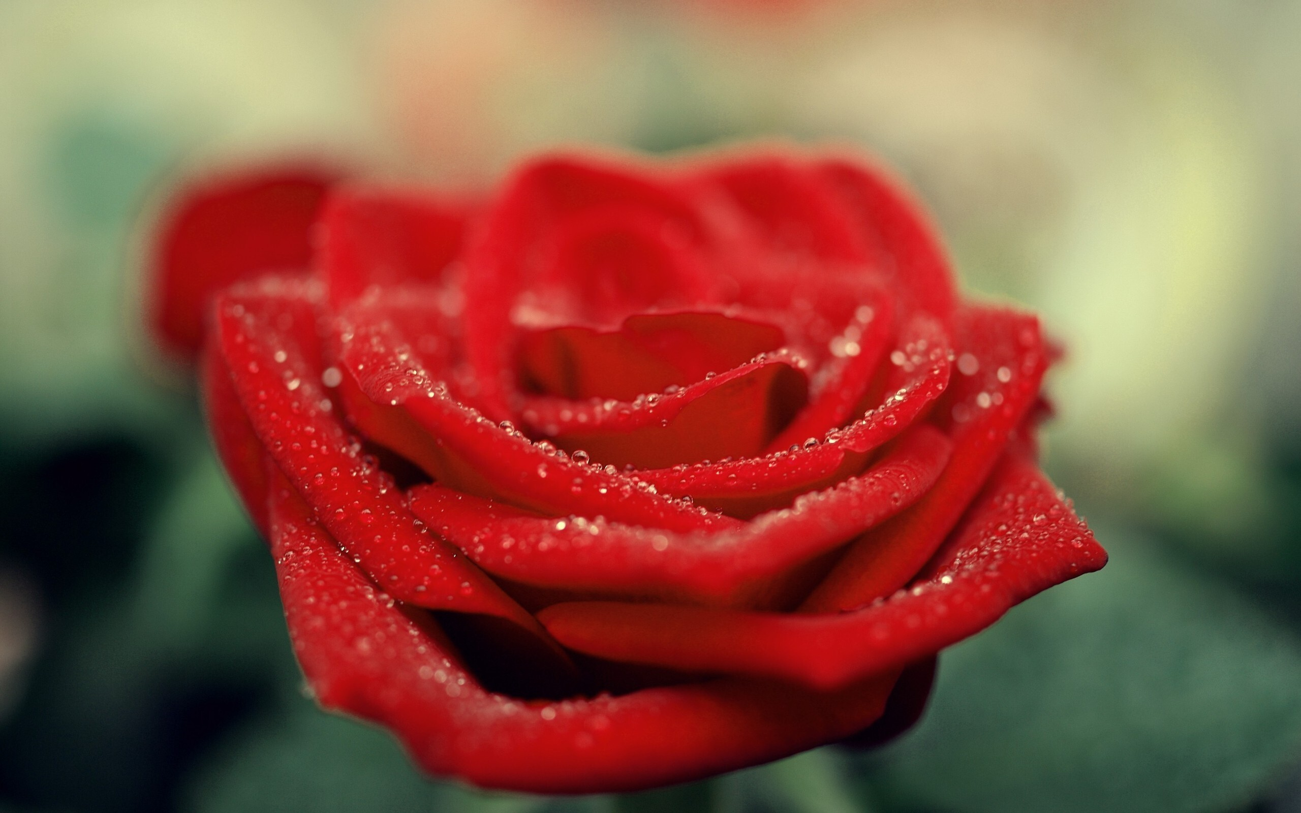 Beautiful Red Rose Flower Hd Wallpapers Hd Wallpapers