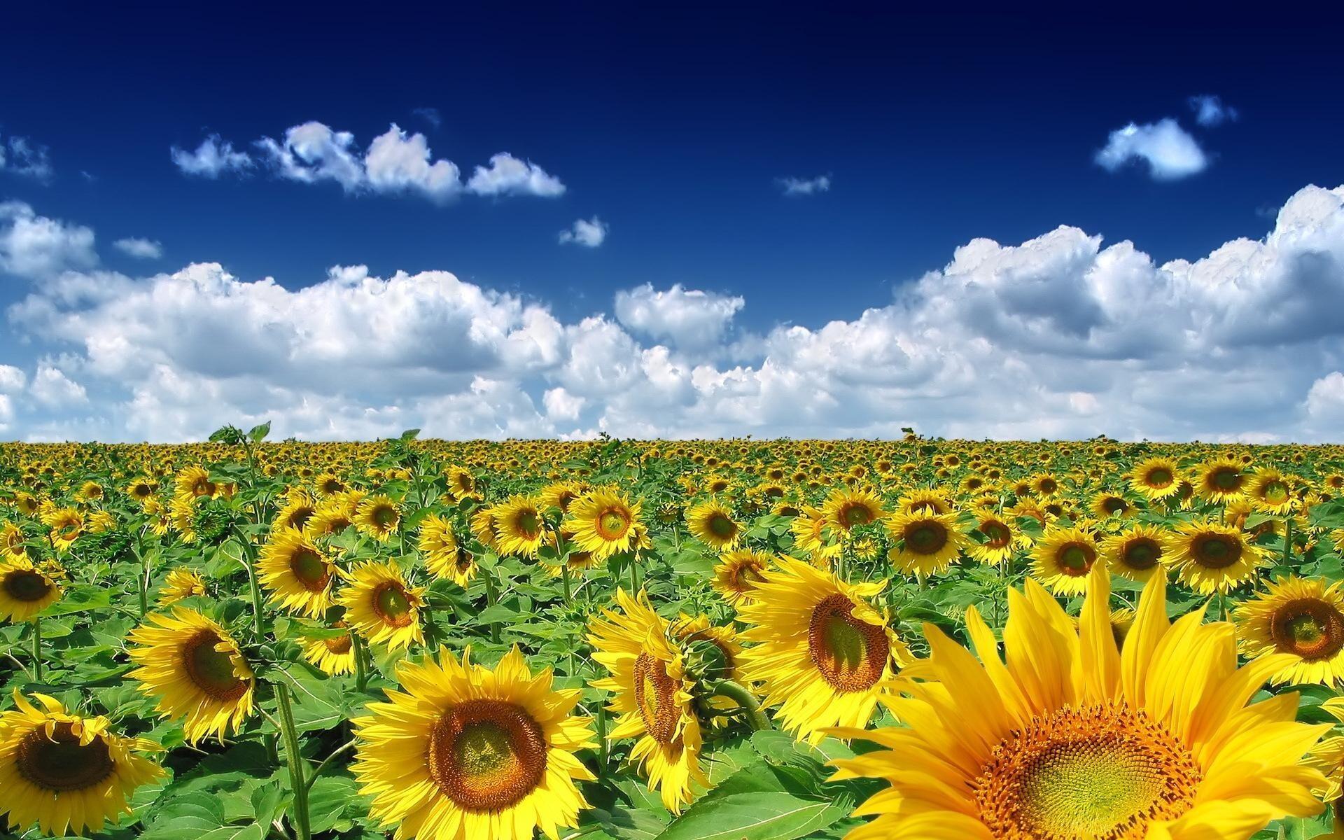 Beautiful sunflowers farm hd wallpapers izmirmasajfo