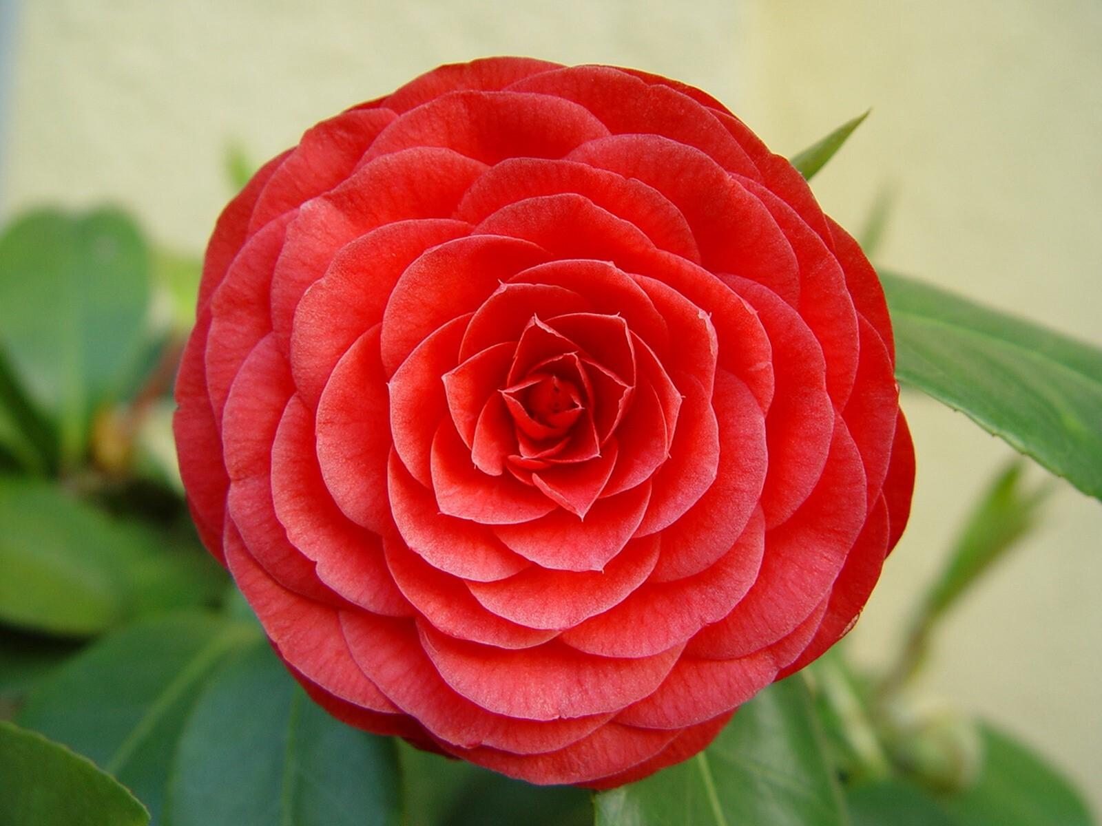 Nice Beautiful Hybrid Red Rose Wallpaper Download Hd Wallpapers