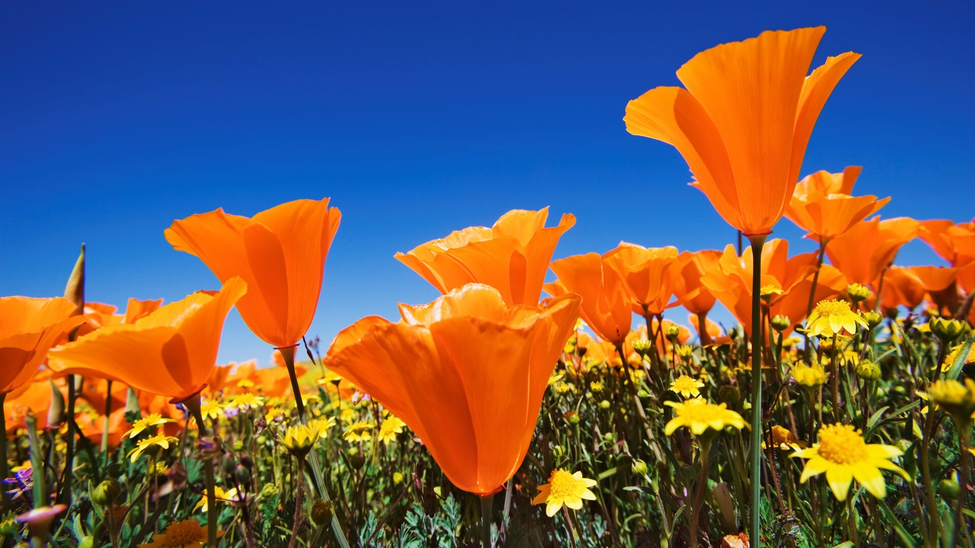 Nice beautiful orange flowers on farm photos hd wallpapers for Paesaggi di primavera per desktop