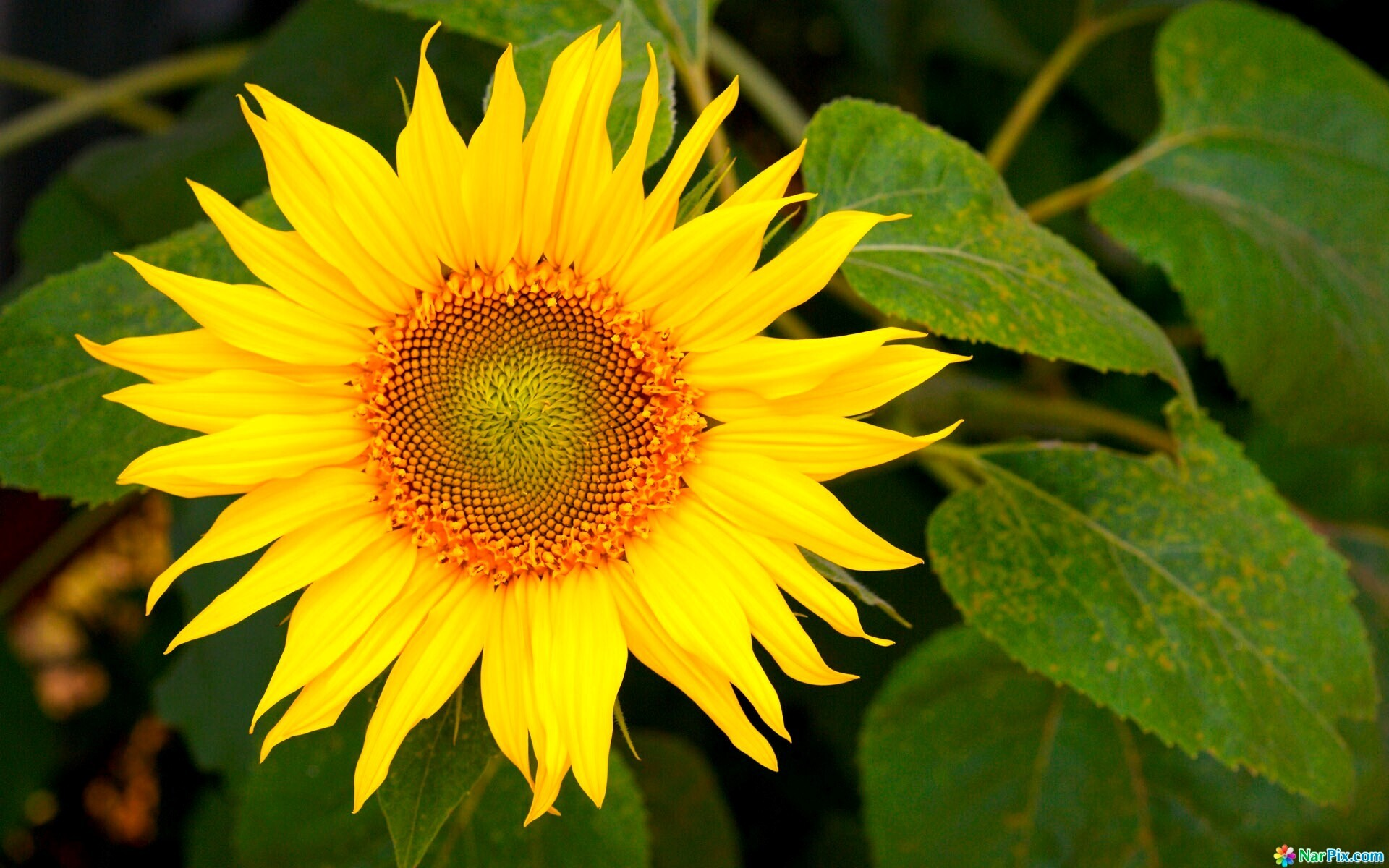 Yellow Sunflower Wallpapers Download | HD Wallpapers