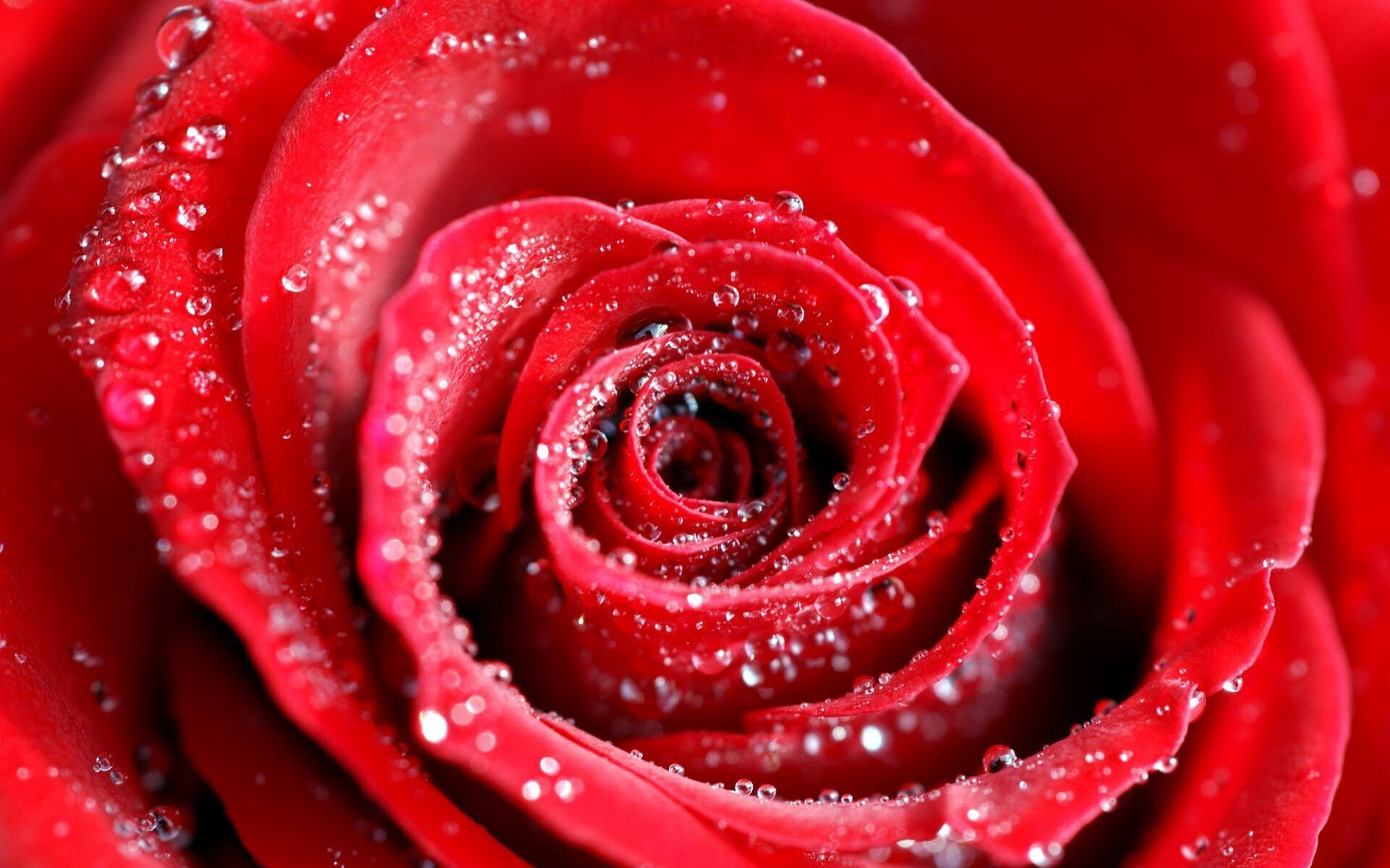 Lovely Pic Of Red Rose On Water Drops Hd Wallpapers