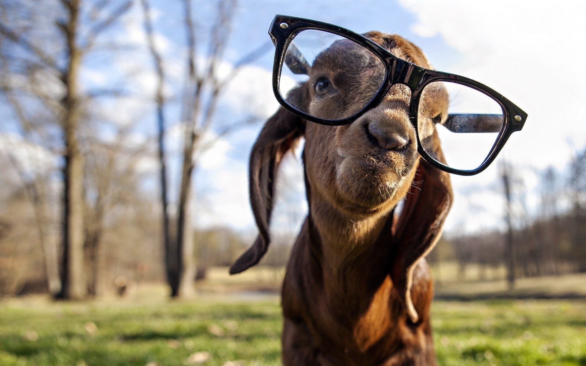Funny gote wear sunglasses photo hd wallpapers funny gote wear sunglasses photo voltagebd Images