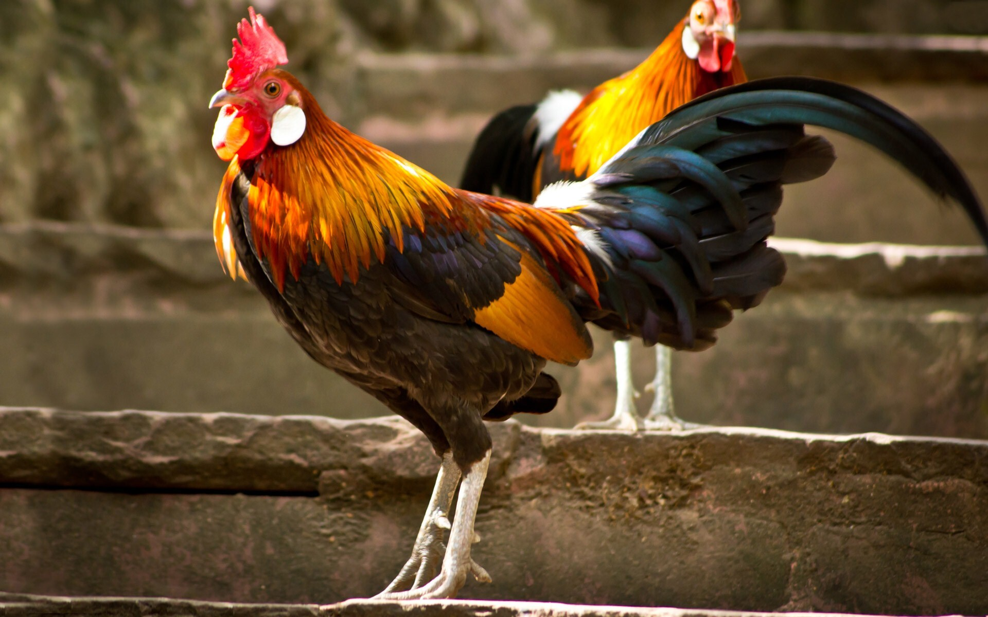 Colorful Bird Hen