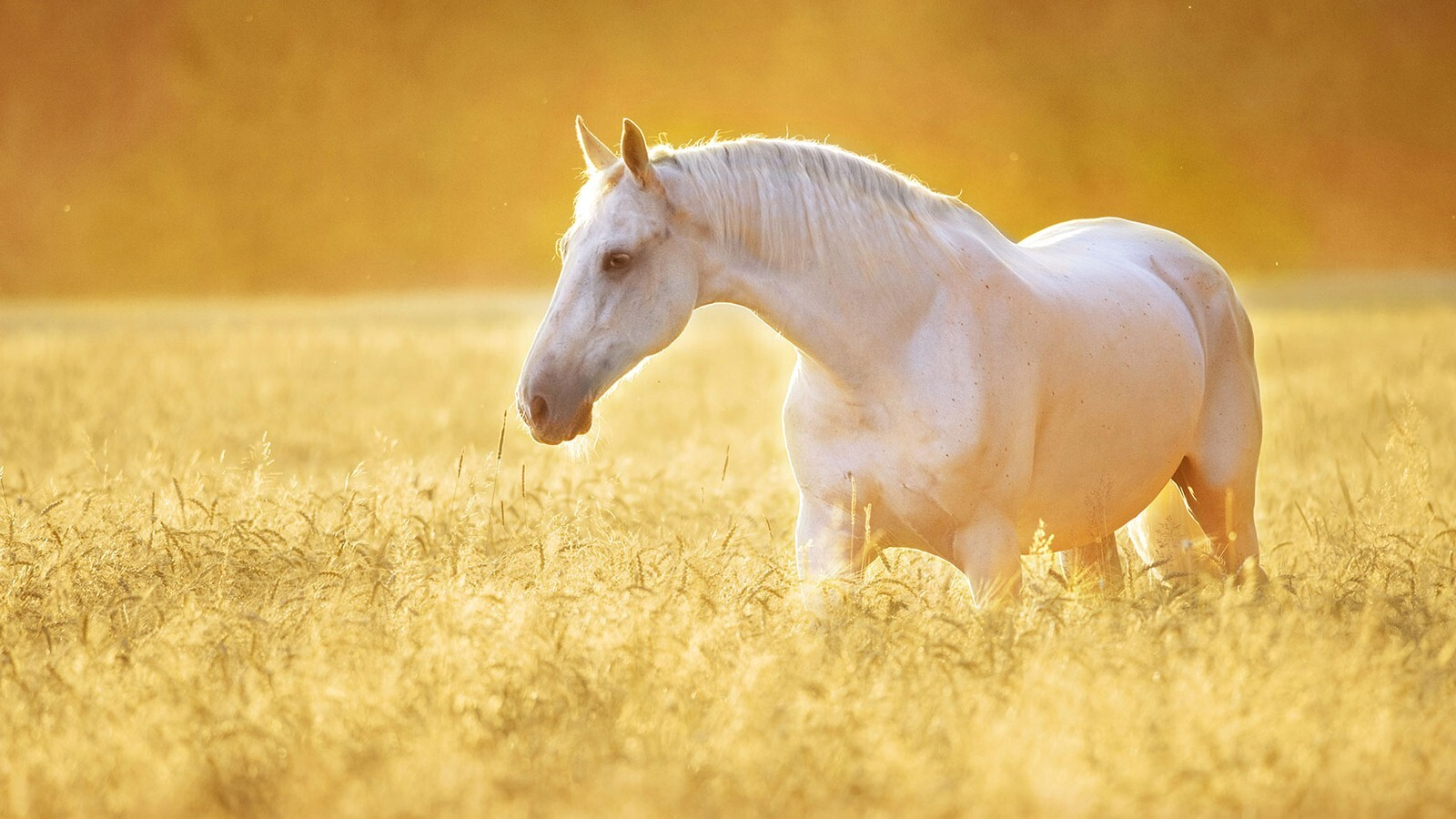 Wallpaper Beautiful White Horses