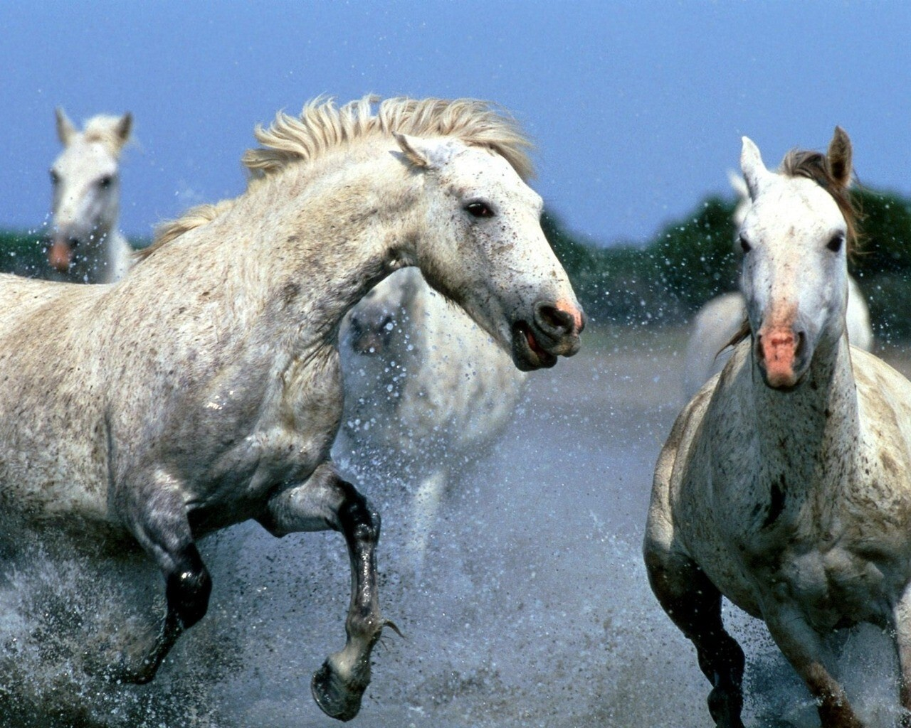 White Horses In Water Hd Wallpapers