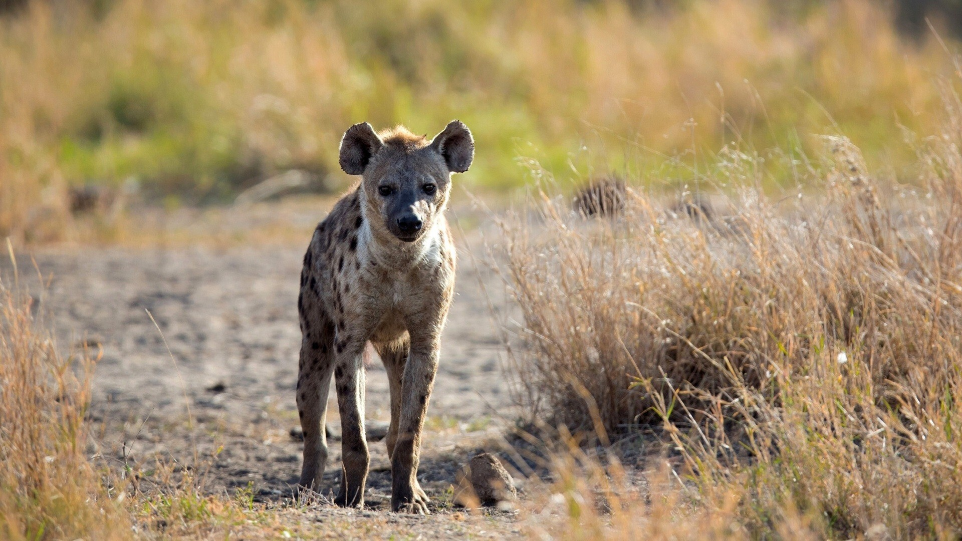 Image of: Wild Dog Spotted Hyena In Jungle Hd Wild Animal Photo Hd Nice Wallpapers Spotted Hyena In Jungle Hd Wild Animal Photo Hd Wallpapers