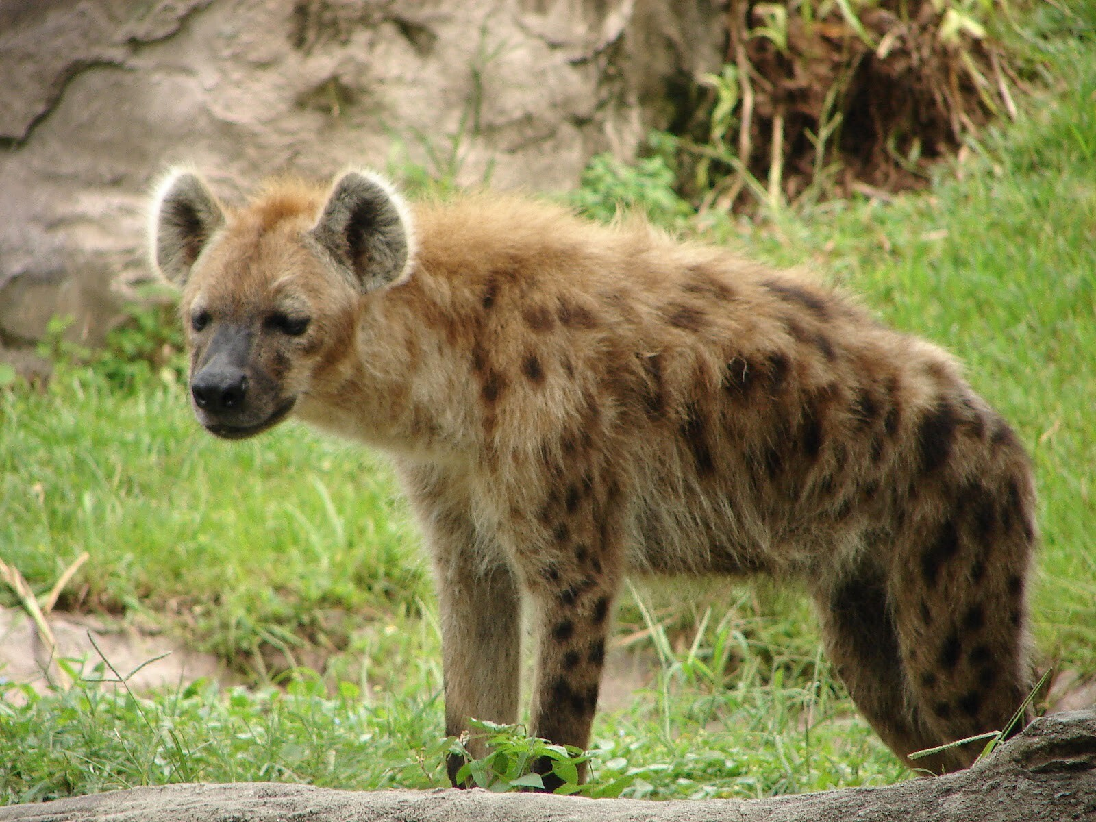wild animal hyena in forest hd wallpapers