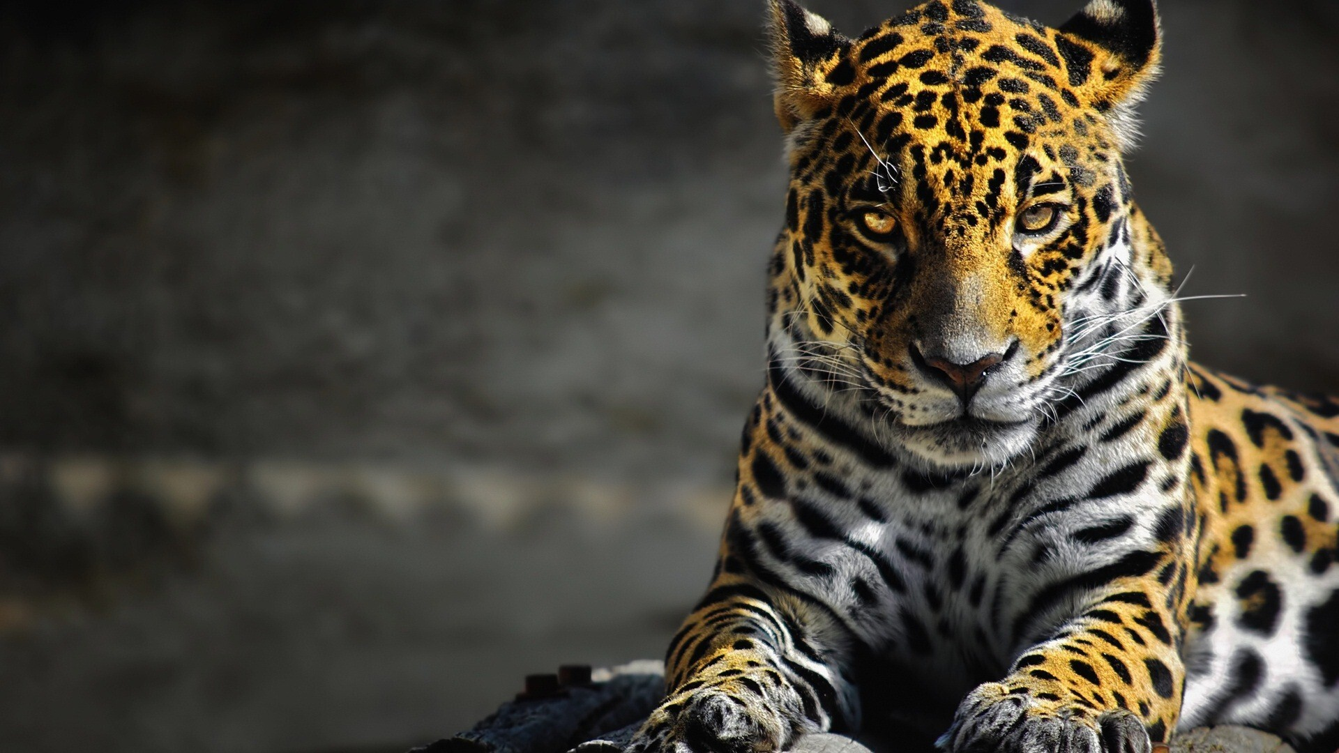 leopard wallpaper hd images pictures becuo