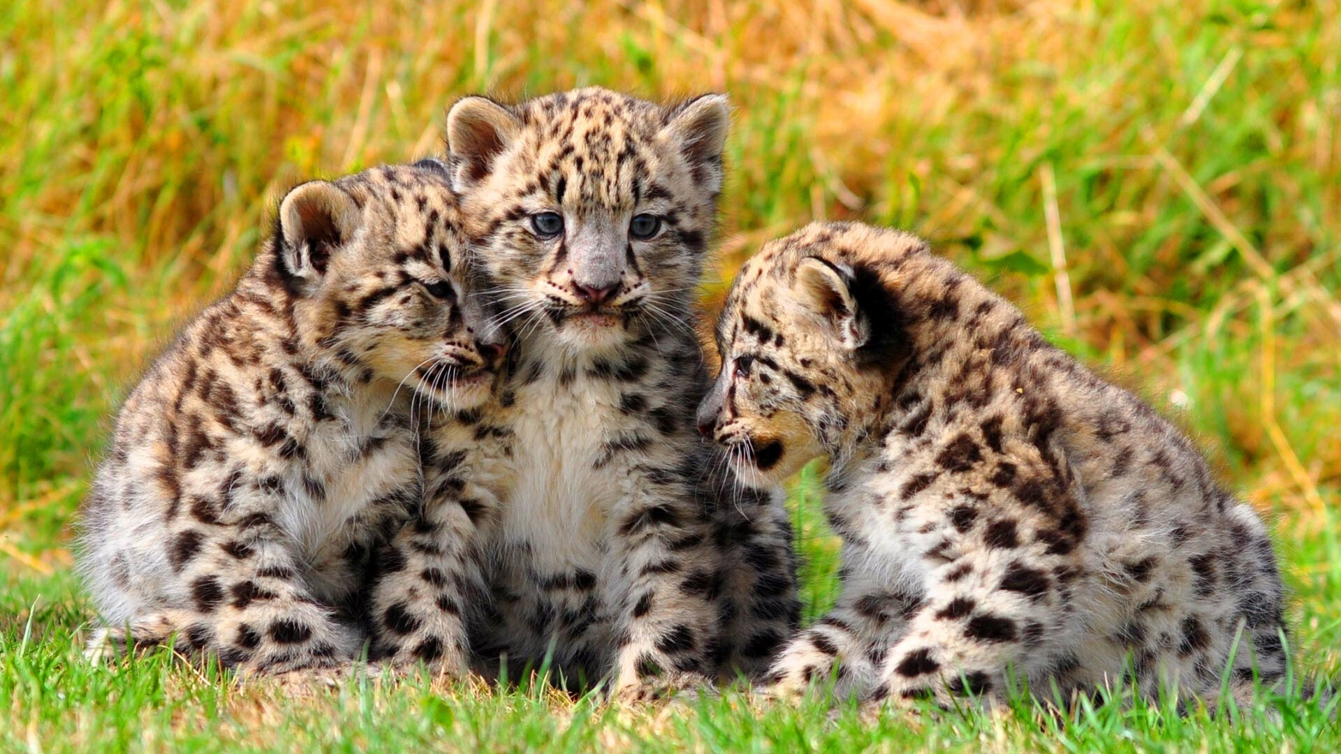 Beautiful Baby Leopard Hd Wallpapers