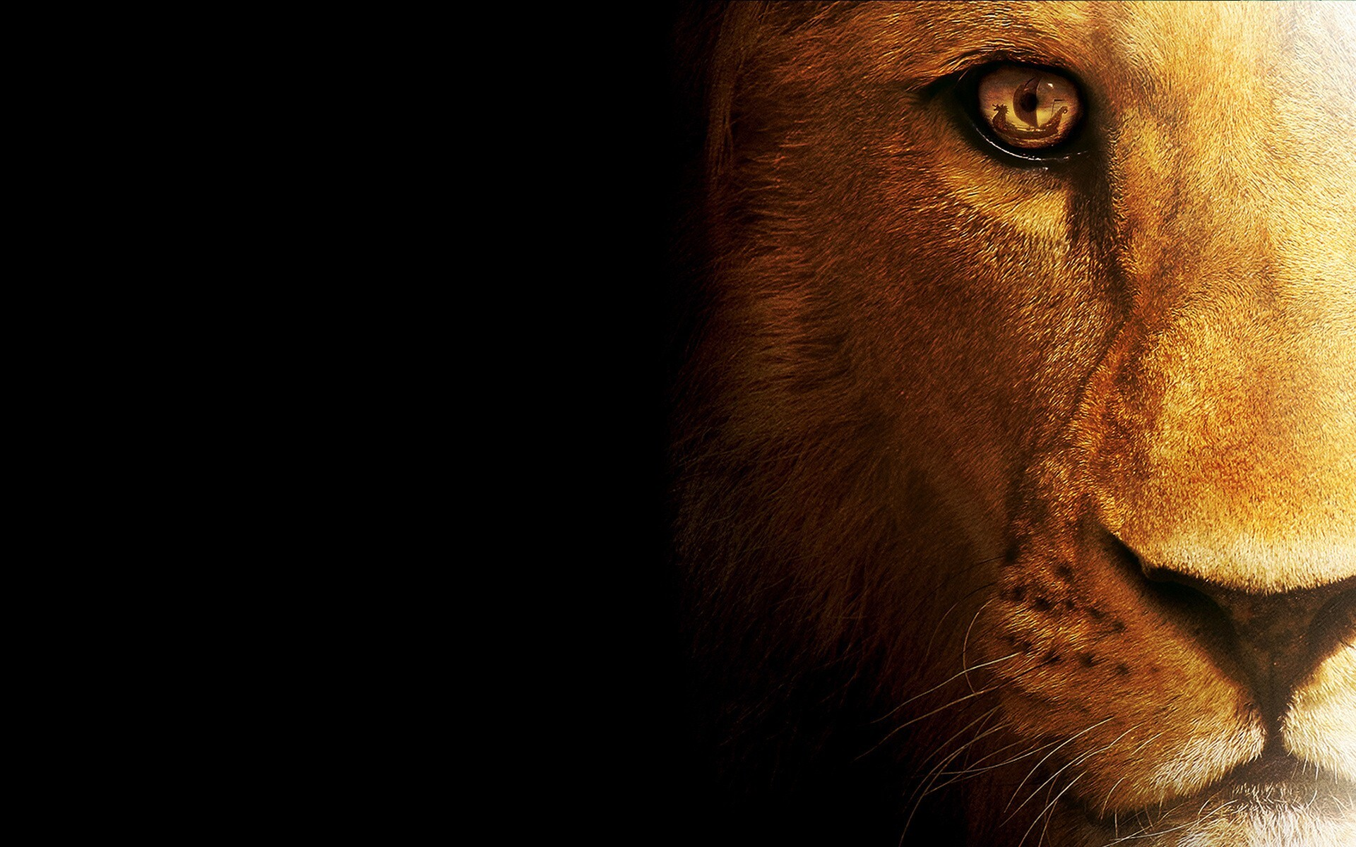 Amazing Wallpaper Logo Lion - Amazing_HD_Desktop_Background_Wallpaper_of_Lion_Wild_Animal  Collection_784129.jpg
