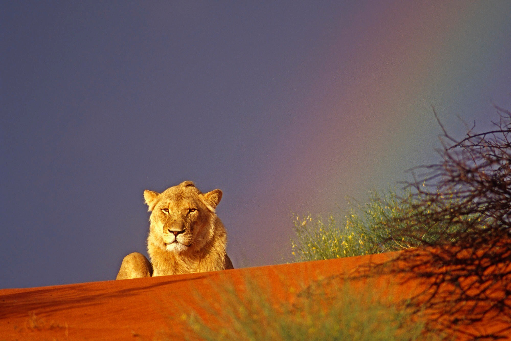 lion hd wallpapers 1024x768 - photo #12