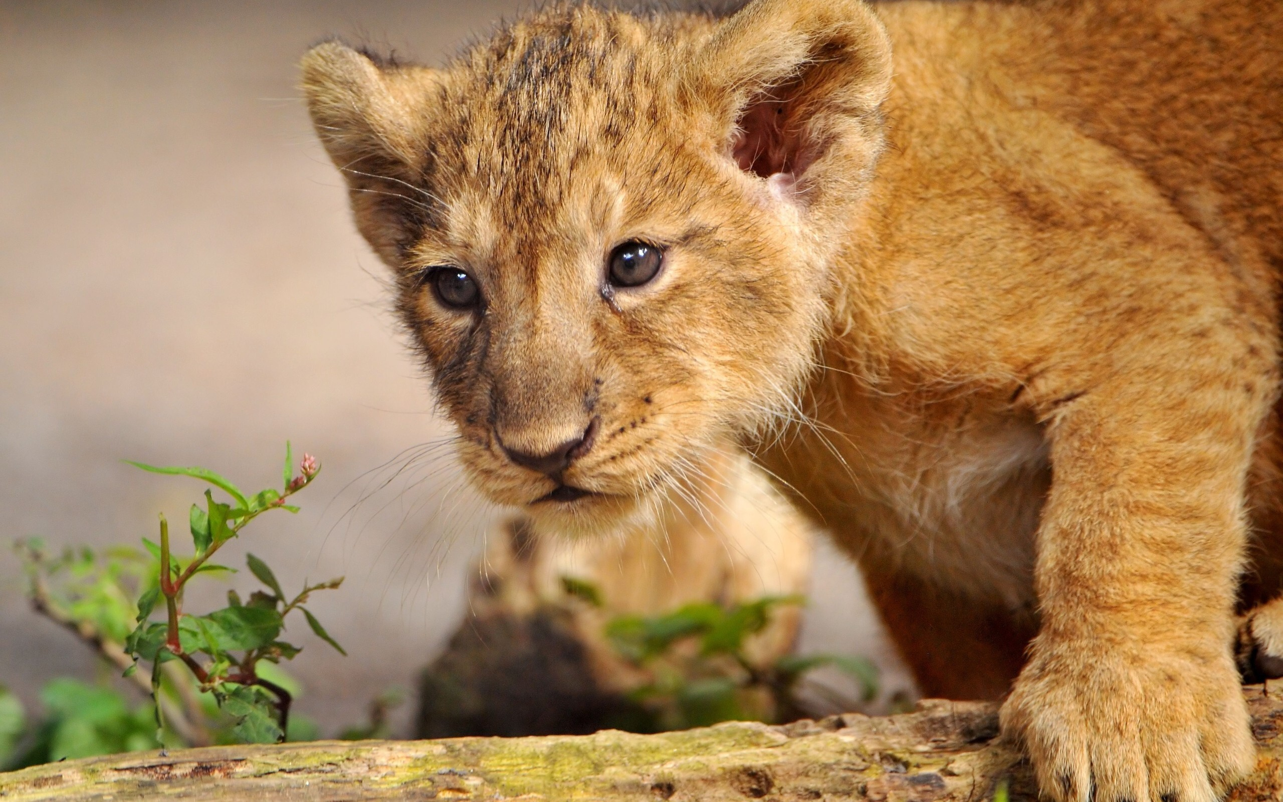 Beautiful Lion Cub Wallpaper Hd Wallpapers