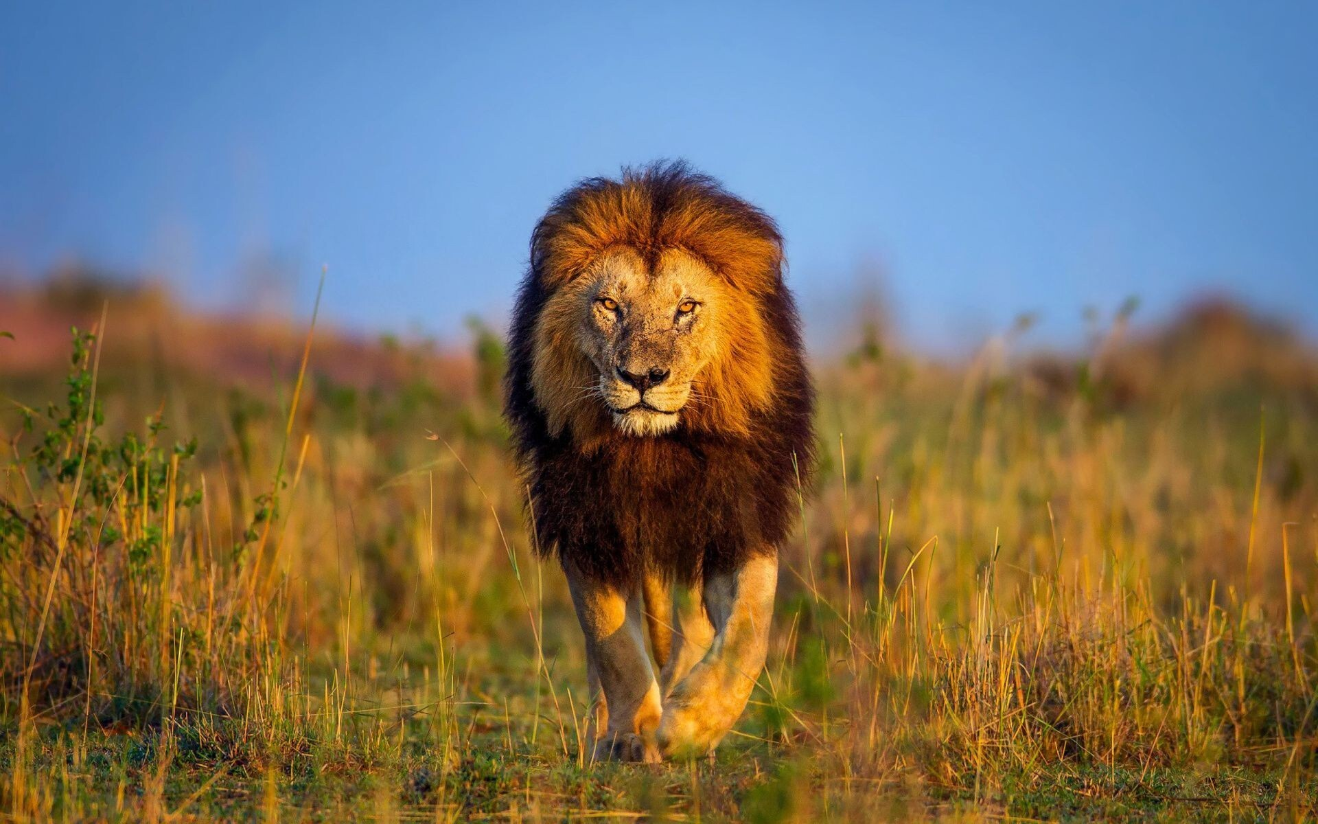 Big Lion Walking In Jungle Hd Wallpapers